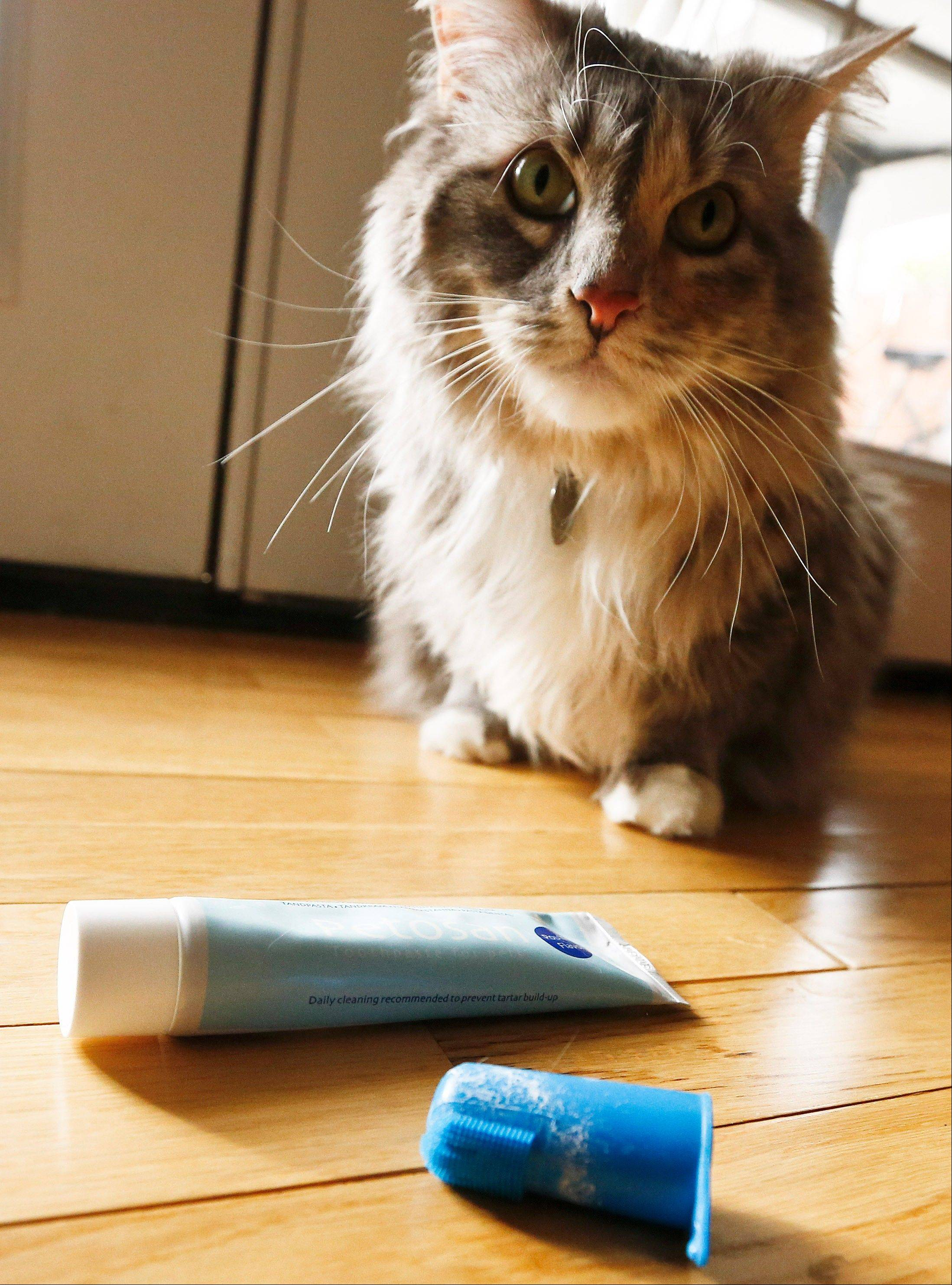 A cat named Pepper sits near the toothpaste and brush after getting her teeth brushed at home in Phoenix.