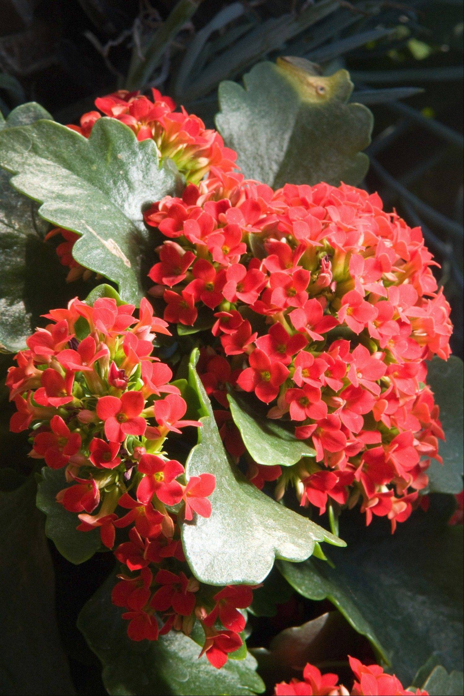 Kalanchoes prefer bright light, sparse watering and no fertilizer while in bloom.