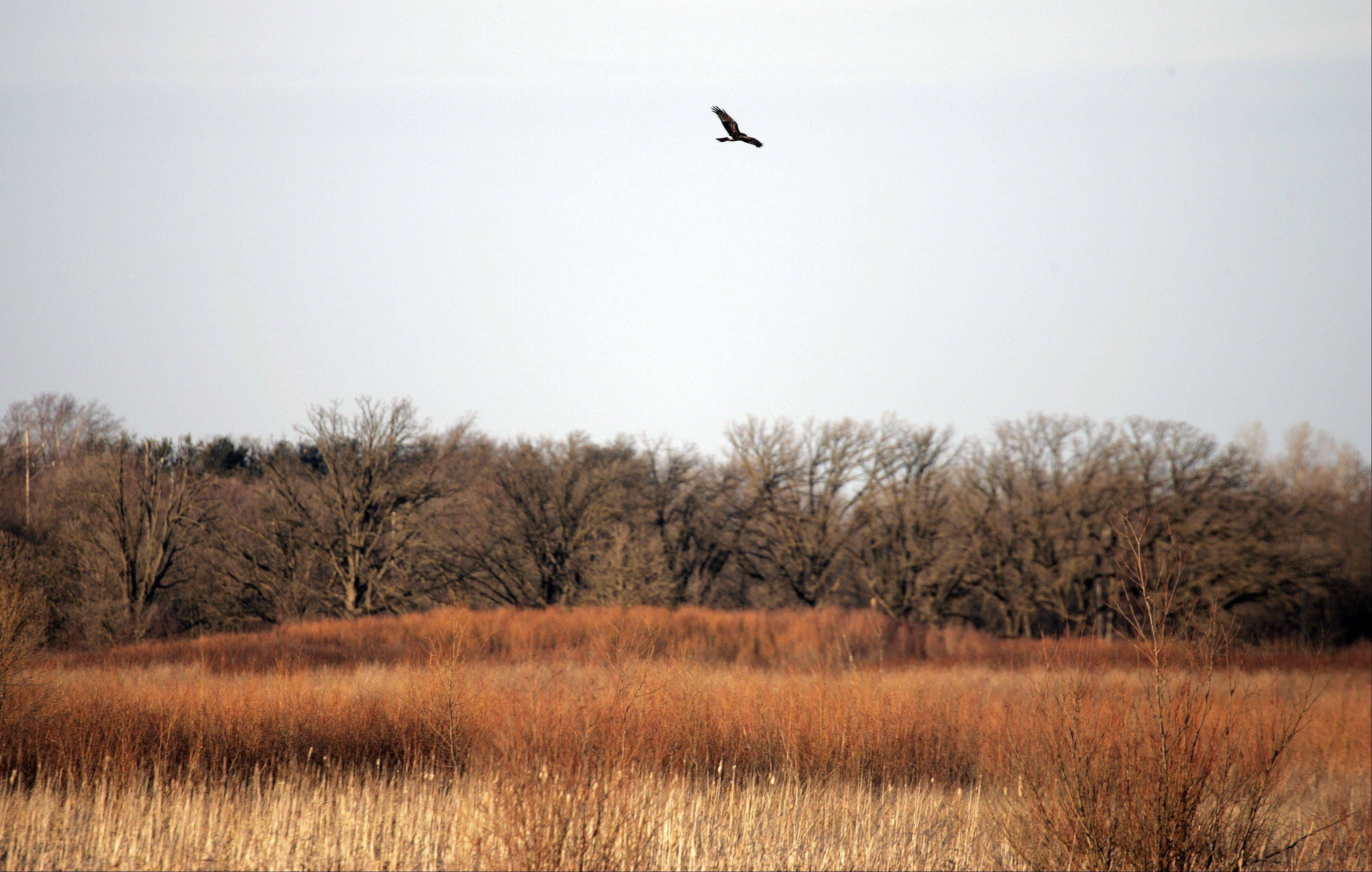 A bird of prey makes a pass over one of the prairies at the Hackmatack National Wildlife Refuge.