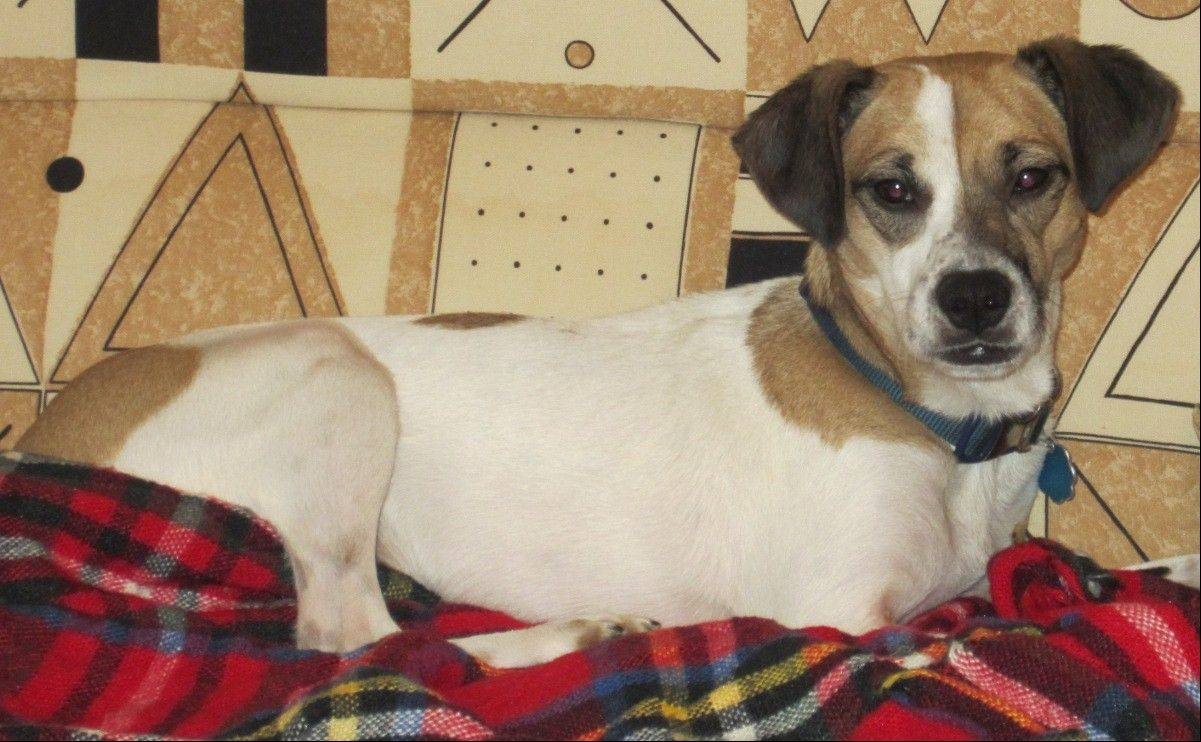 Daisy, a 2-year-old, female beagle/terrier mix, weighs about 19 pounds. She is looking for a place to call home.