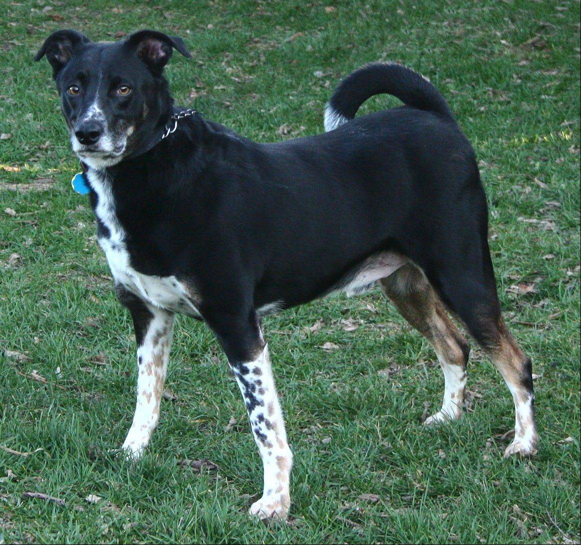 Flipps, a male, cattle dog mix, is about 7 years old and weighs 59 pounds. Flipps needs a forever home.