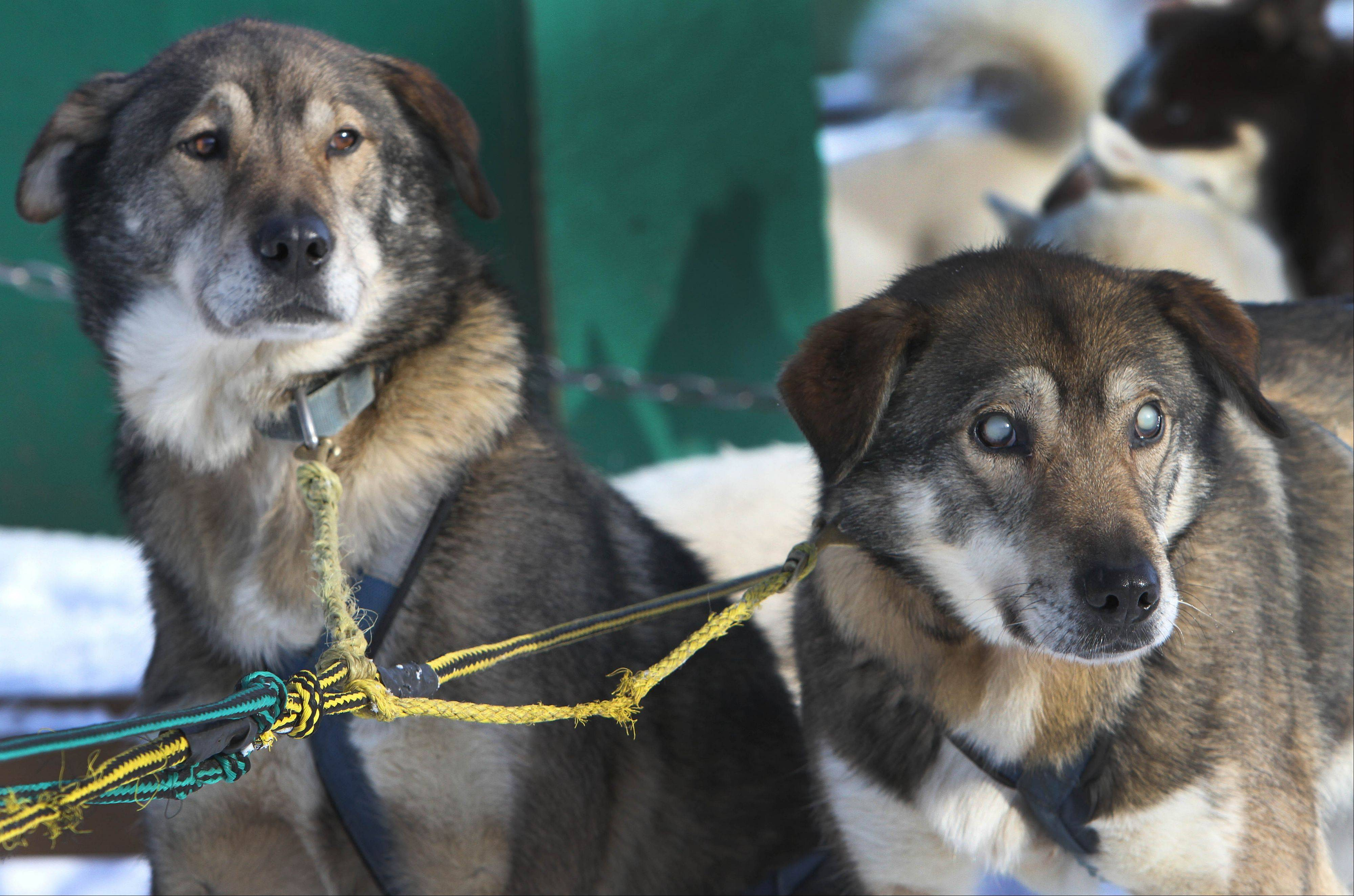 Sled dogs Poncho, left, and his blind brother Gonzo are hooked up for a run at the Muddy Paw Sled Dog Kennel, in Jefferson, N.H. Poncho has taken to helping his blind brother on regular runs.