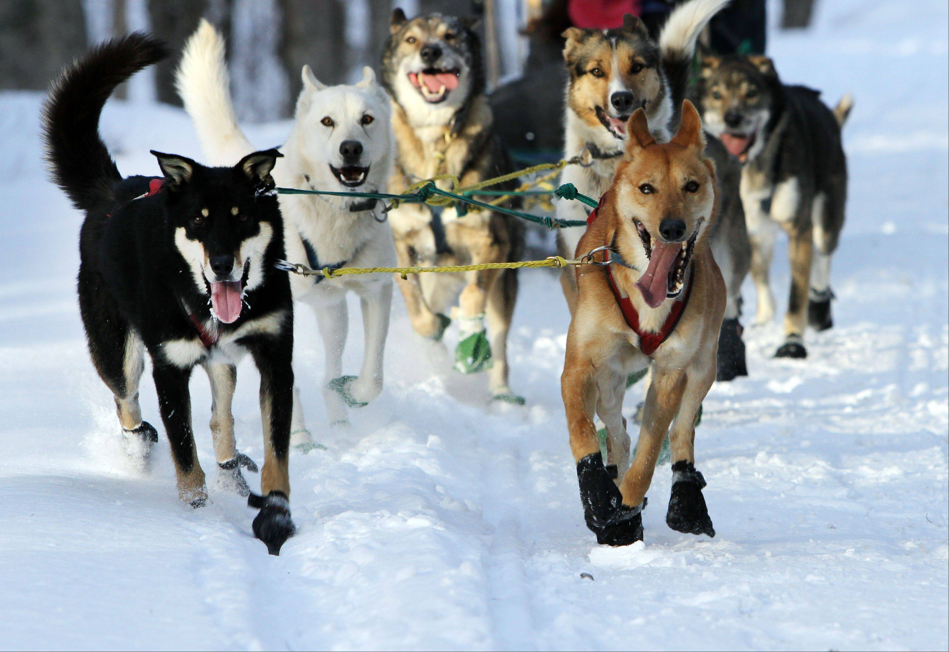 "A group of sled dogs from the Muddy Paw Sled Dog Kennel runs a trail in Jefferson, N.H. The kennel takes in rescues and ""second-chance"" dogs and is also home to a blind dog that relies on his brother to keep up with the rest of the team."