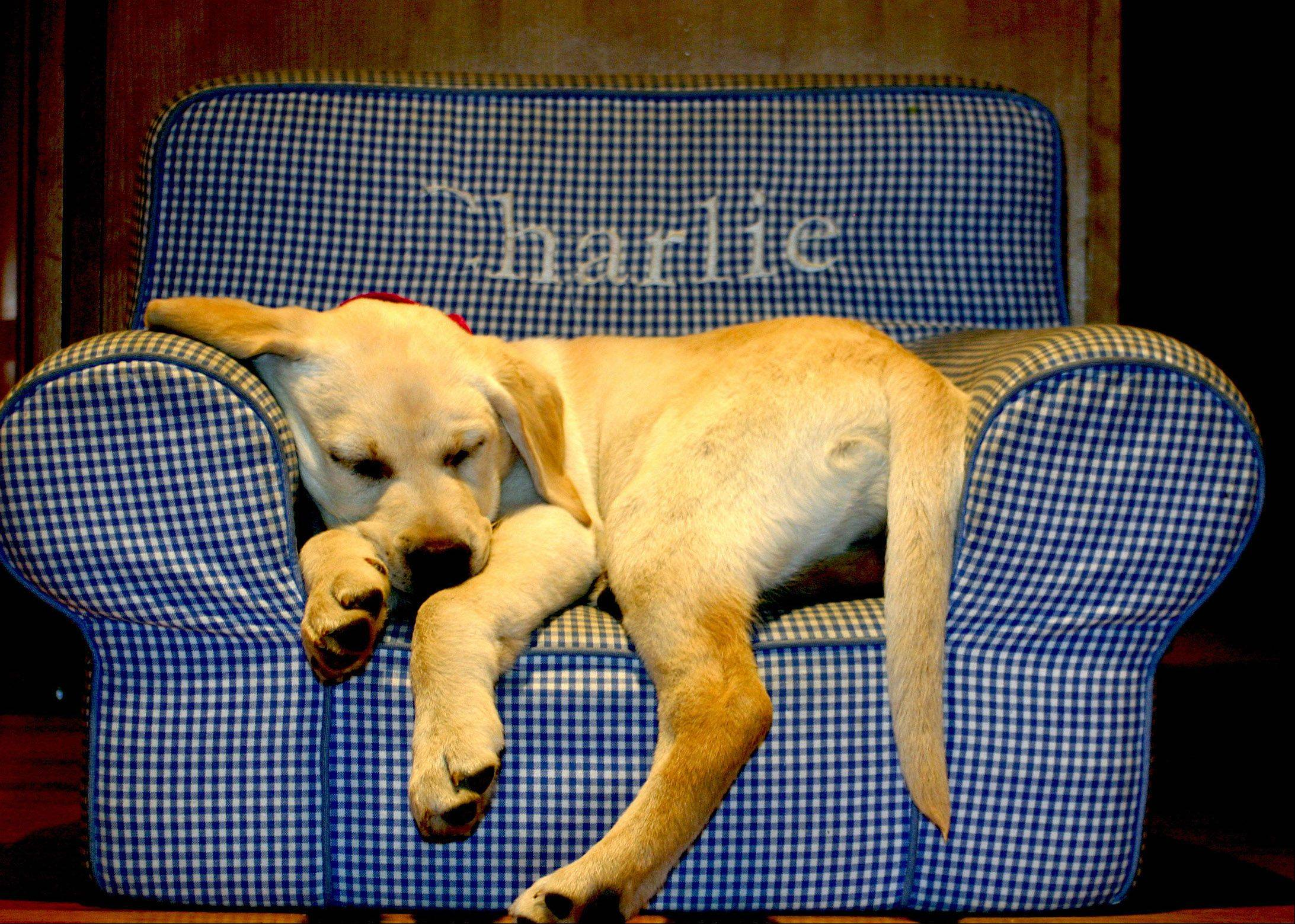 A Labrador puppy is exhausted after a hard day playing and found this chair very comfy.