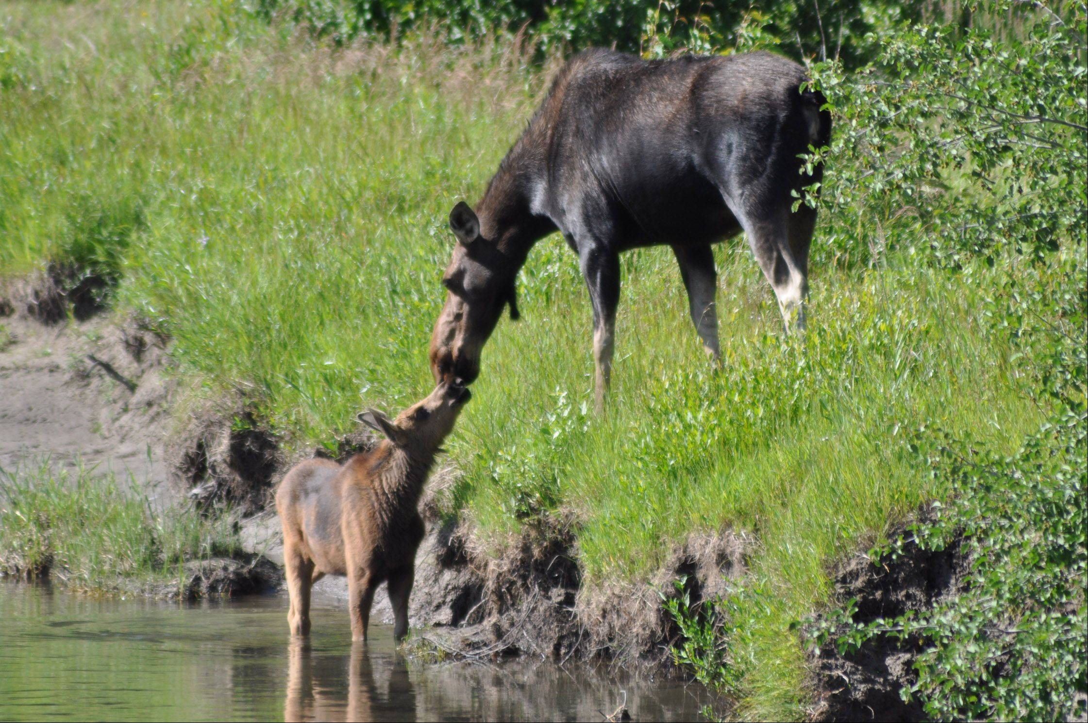 A mother moose reaches down to check on her calf in a lake last August in the Grand Teton National Forest.