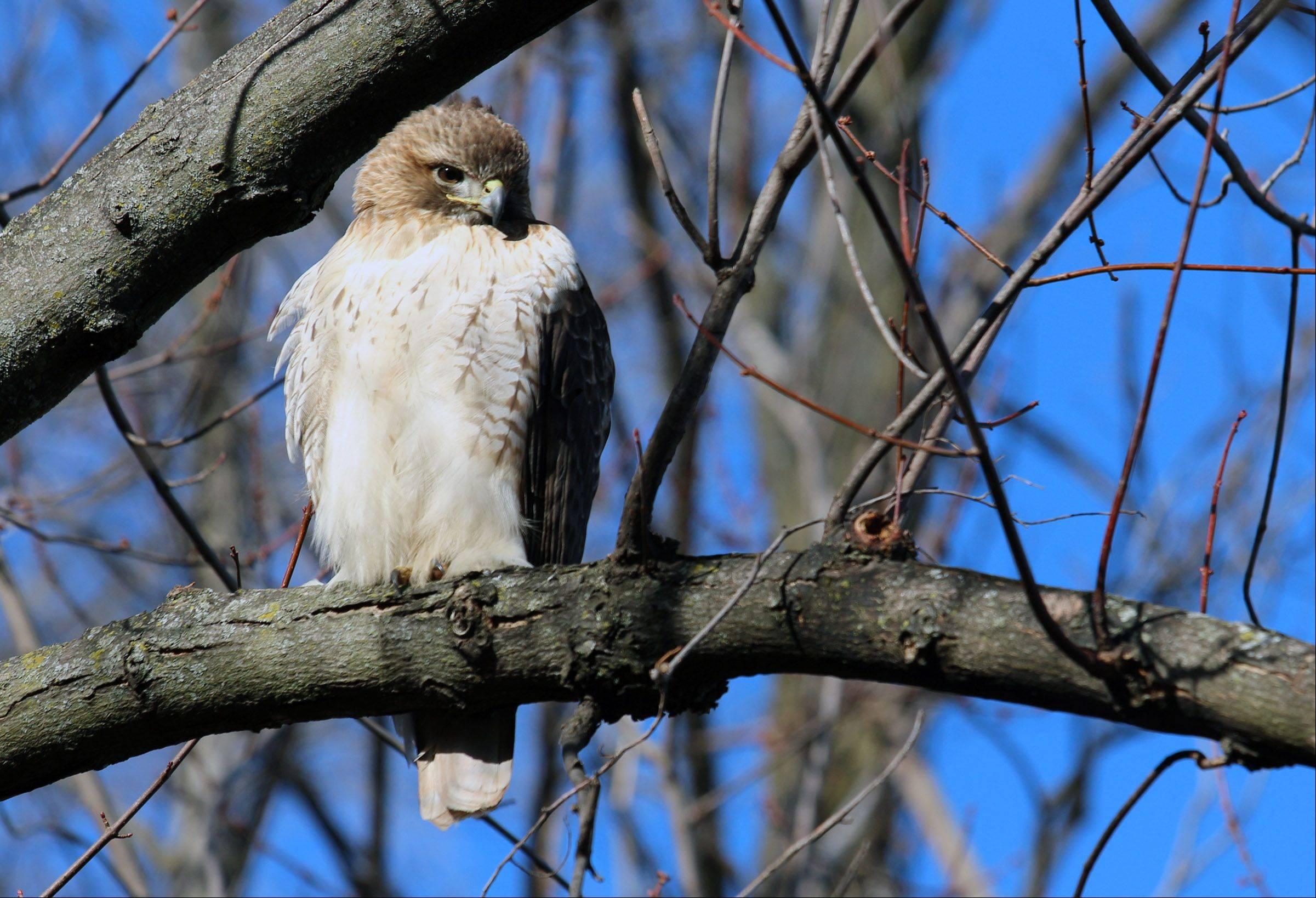 "Our neighborhood Red Tail Hawk we call ""Hawk Eye"", sat patiently while I took his picture on a tree limb on the south side of The Village of Winfield."