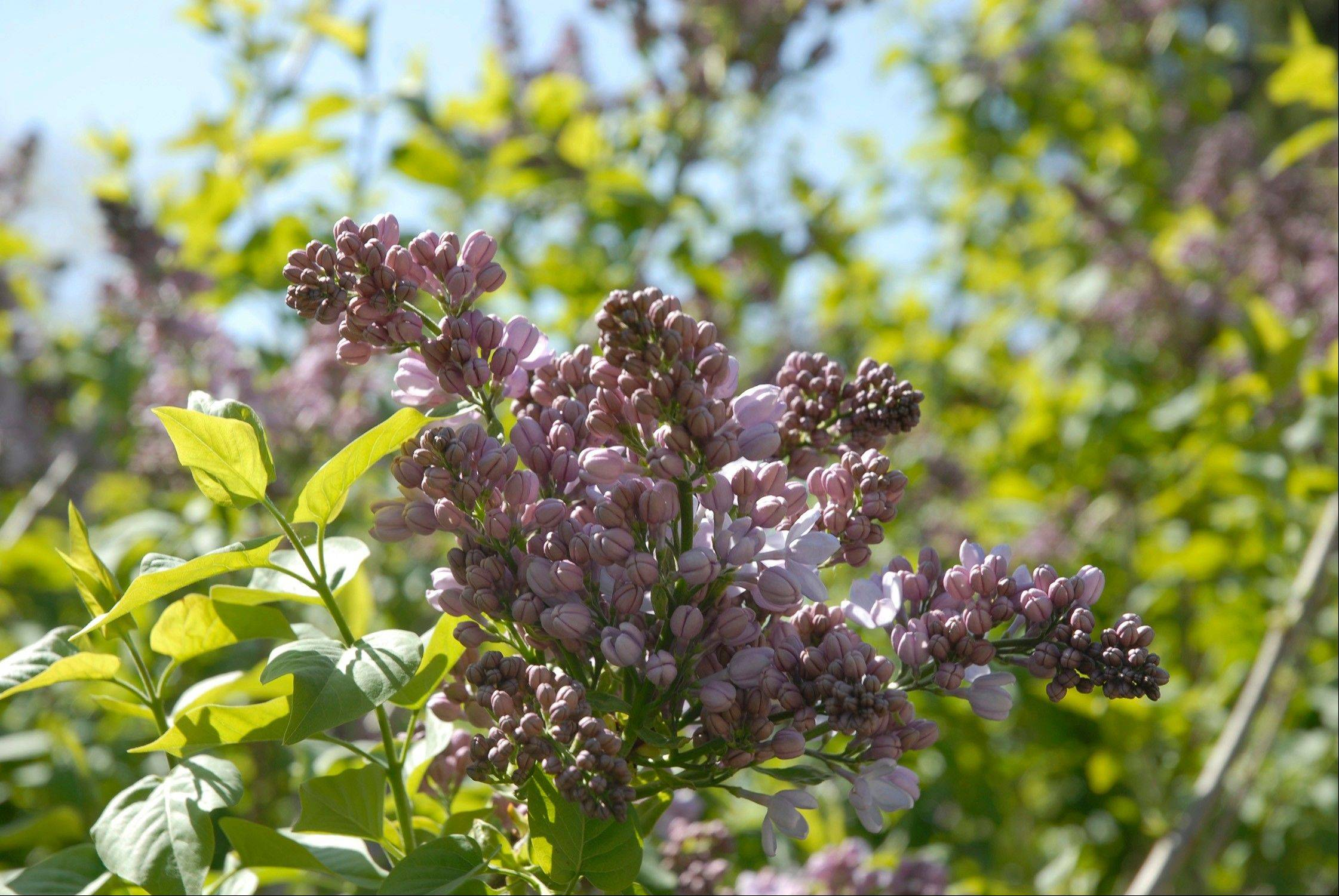 Lilac shrubs will not bloom in the spring if they are pruned over the winter.