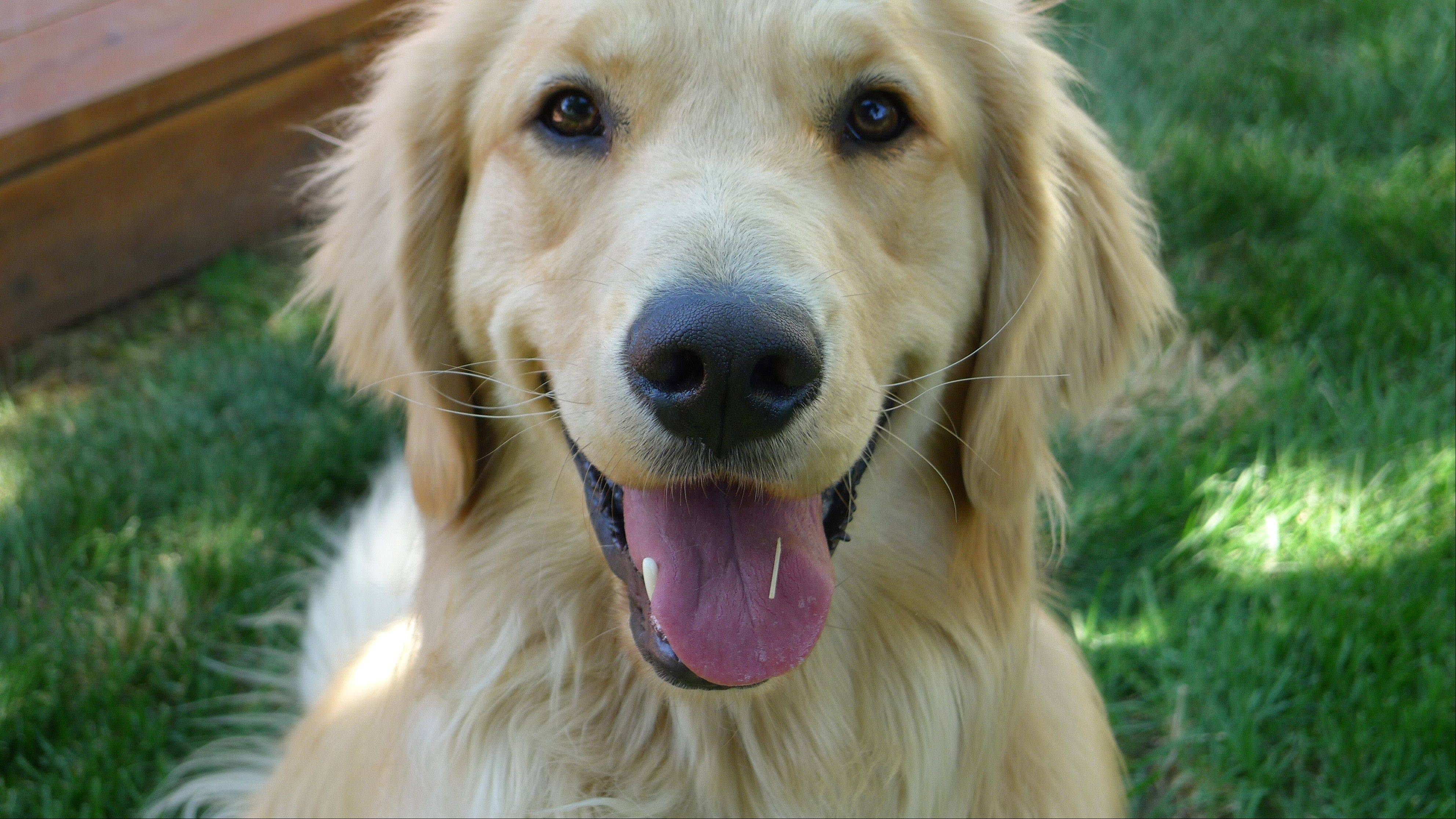 Golden retriever, Louie Mesinger, in his backyard in Boulder, Colo. The Golden Retriever Lifetime Study will be the largest and longest study of dogs ever conducted.