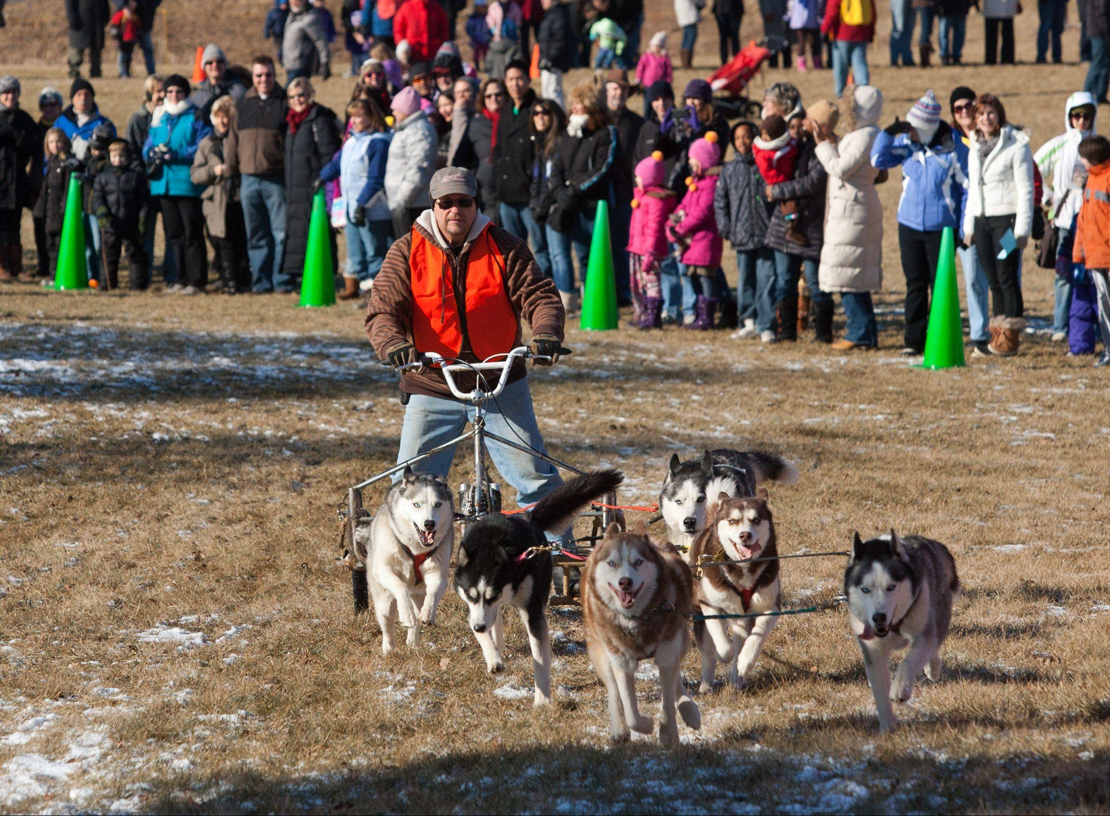 "Mike Rawaillot guides his pack Saturday as the Morton Arboretum sponsors its annual ""Husky Heroes"" event in Lisle. Hundreds attend the event each year to watch dog sledding demonstrations and learn about Siberian huskies."