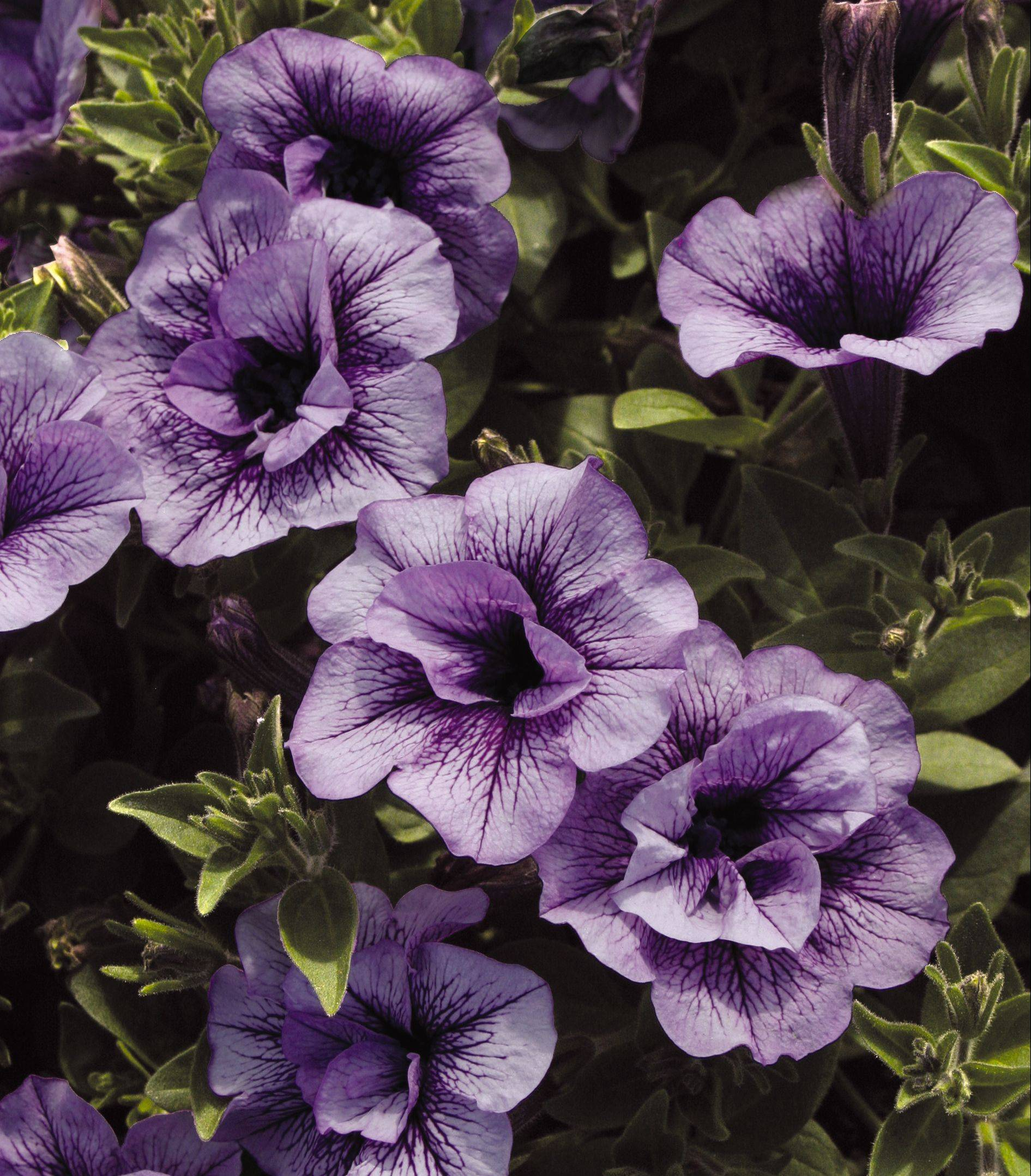 Supertunia Priscilla by Proven Winners is a sun-loving, heat- and drought-tolerant plant that grows to 6 to 10 inches.