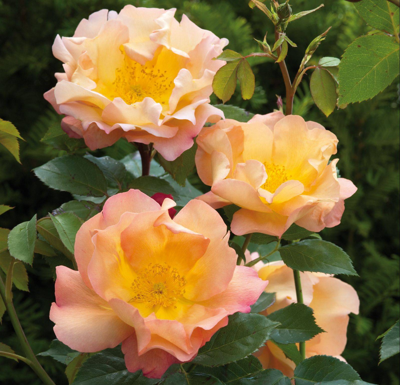 Fighting Temeraire is creamy apricot in color, with 12 petals up to 5 inches across with a strong lemon zest scent.