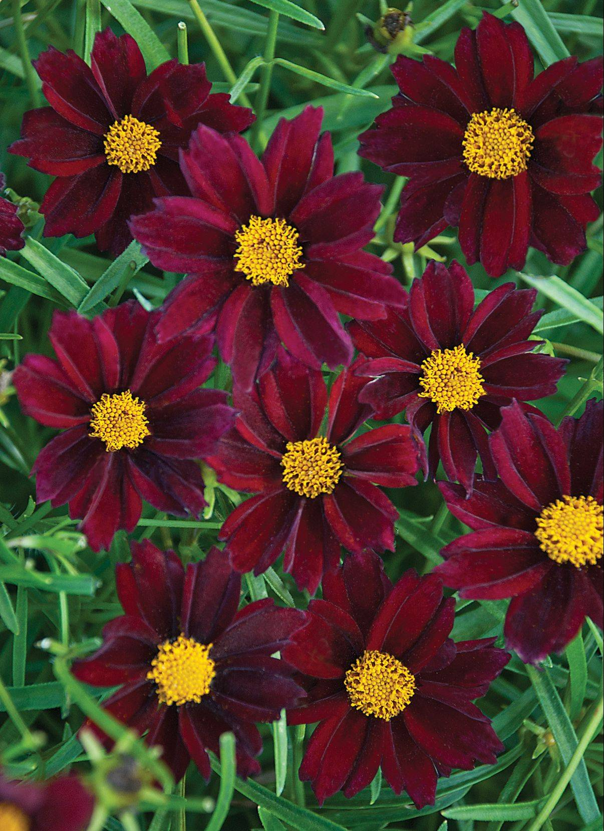 Mercury Rising is the first red tickseed offered by Walters Gardens in Michigan that would survive Chicago-area winters. Butterflies and honeybees are attracted to the 2-inch wine-colored blooms. It reblooms with no deadheading necessary.