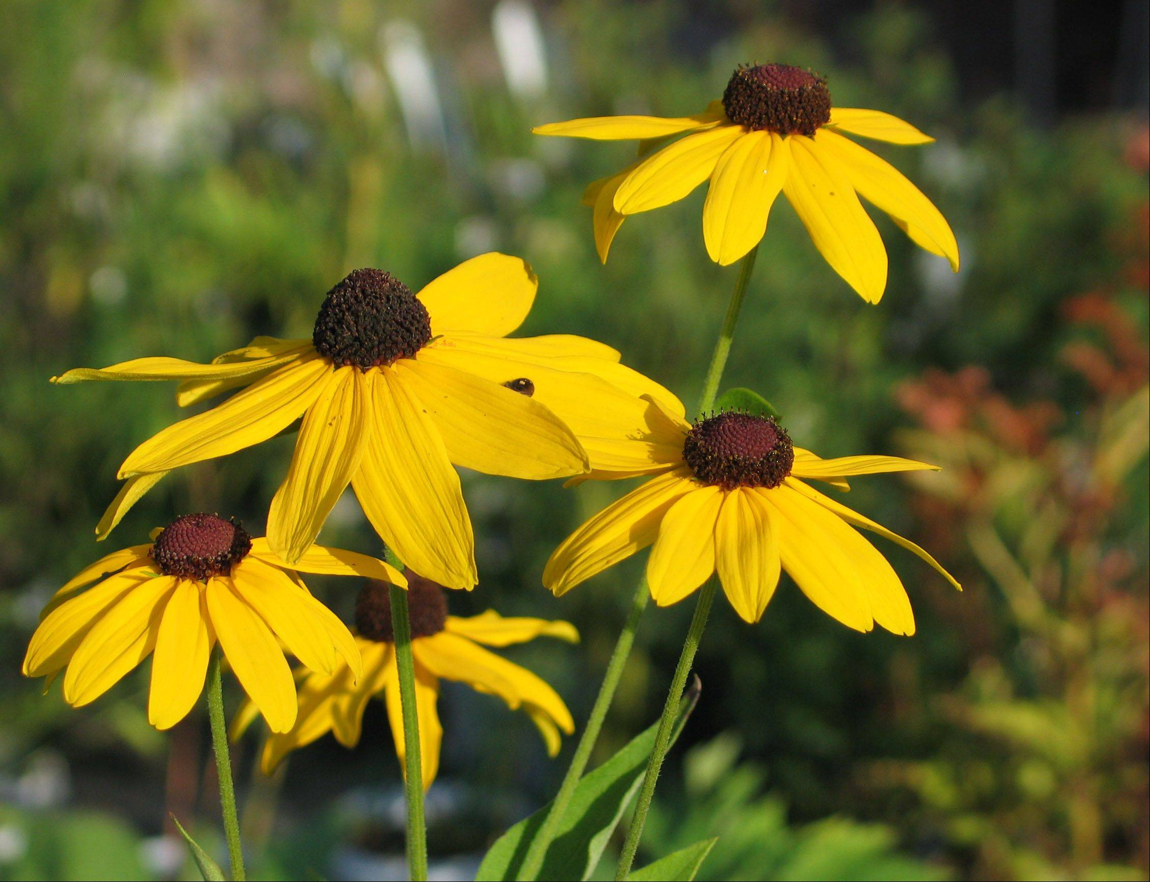 Rudbeckia, commonly known as black-eyed Susan, is a popular native prairie plant.