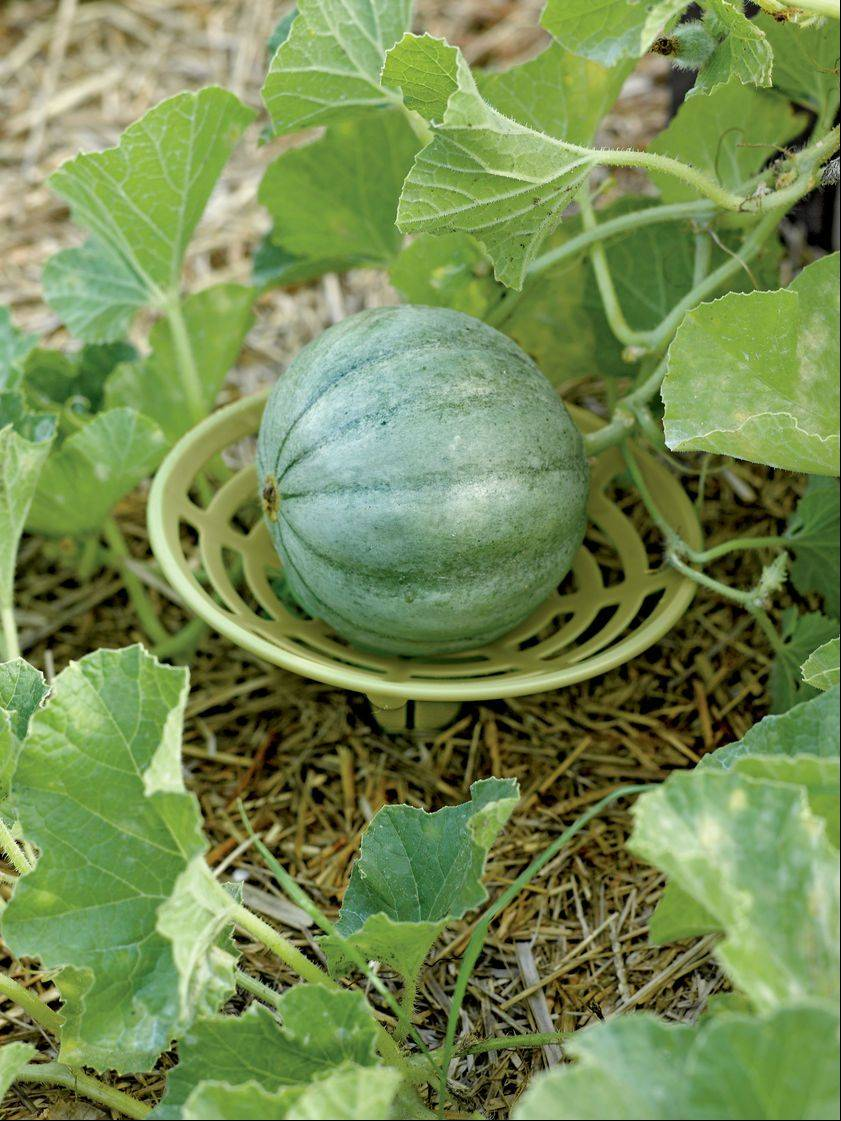 Want to keep that ripening melon off the soil bed for even ripening and prevent rot? Then check out the melon and squash holders offered by Gardener's Supply Company. A set of six is under $10.
