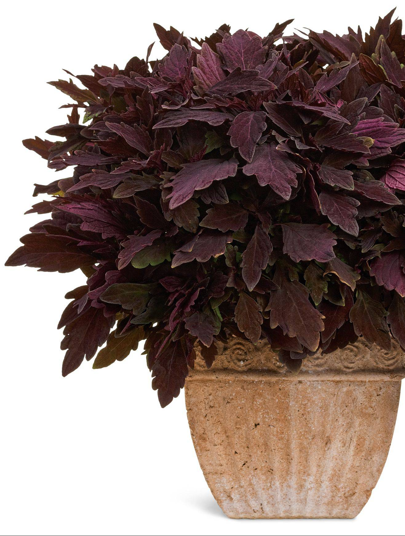 ColorBlaze Marooned by Proven Winners attracts birds and hummingbirds, is heat-tolerant and does well in sun or shade.