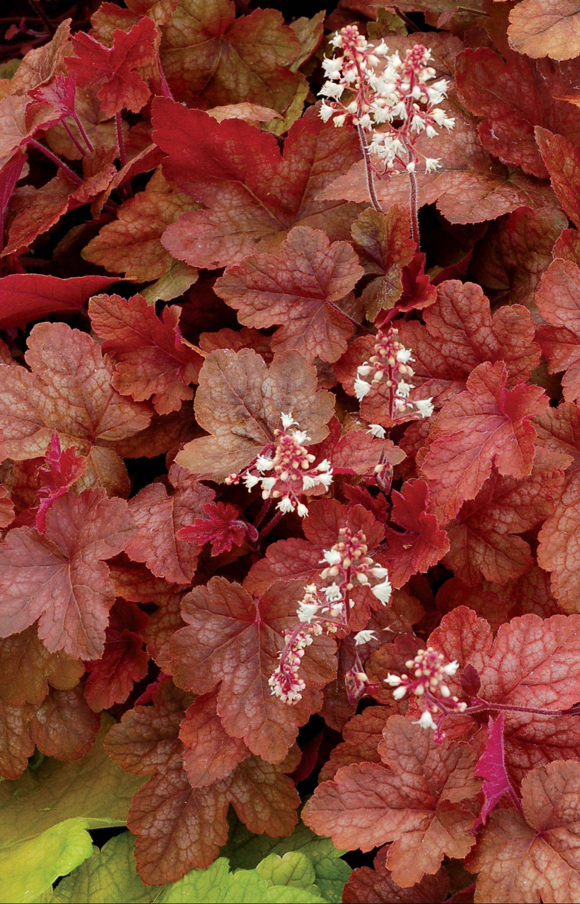 The leaves of Redstone Falls, from White Flower Farm, change in color from cinnamon peach to copper to amber green.