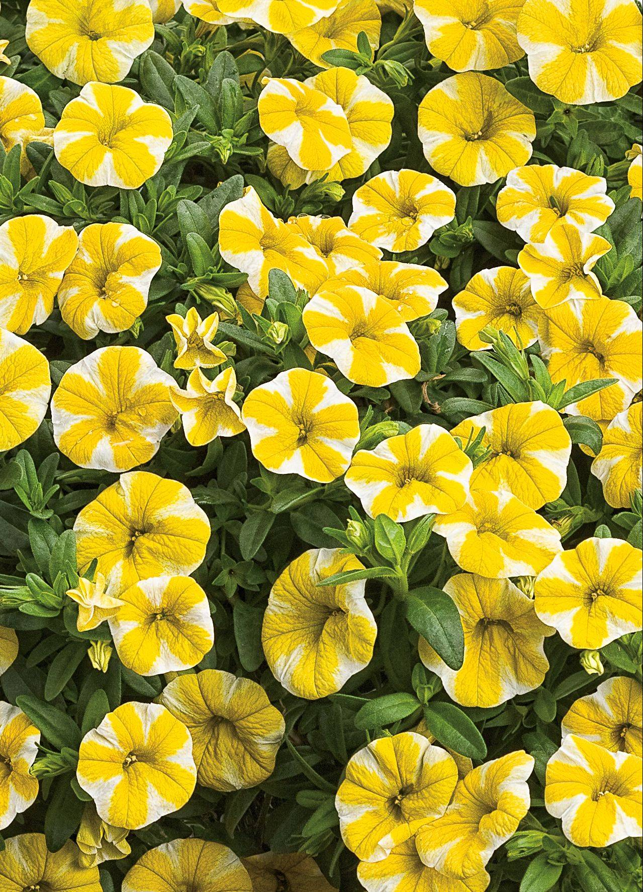 Superbells Lemon Slice by Proven Winners is a new petunialike flower that loves the sun and reaches up 6 to 10 feet.