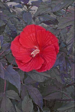 Midnight Marvel Hibiscus will make a big statement in your garden with its deep wine purple foliage and huge scarlet red flowers.