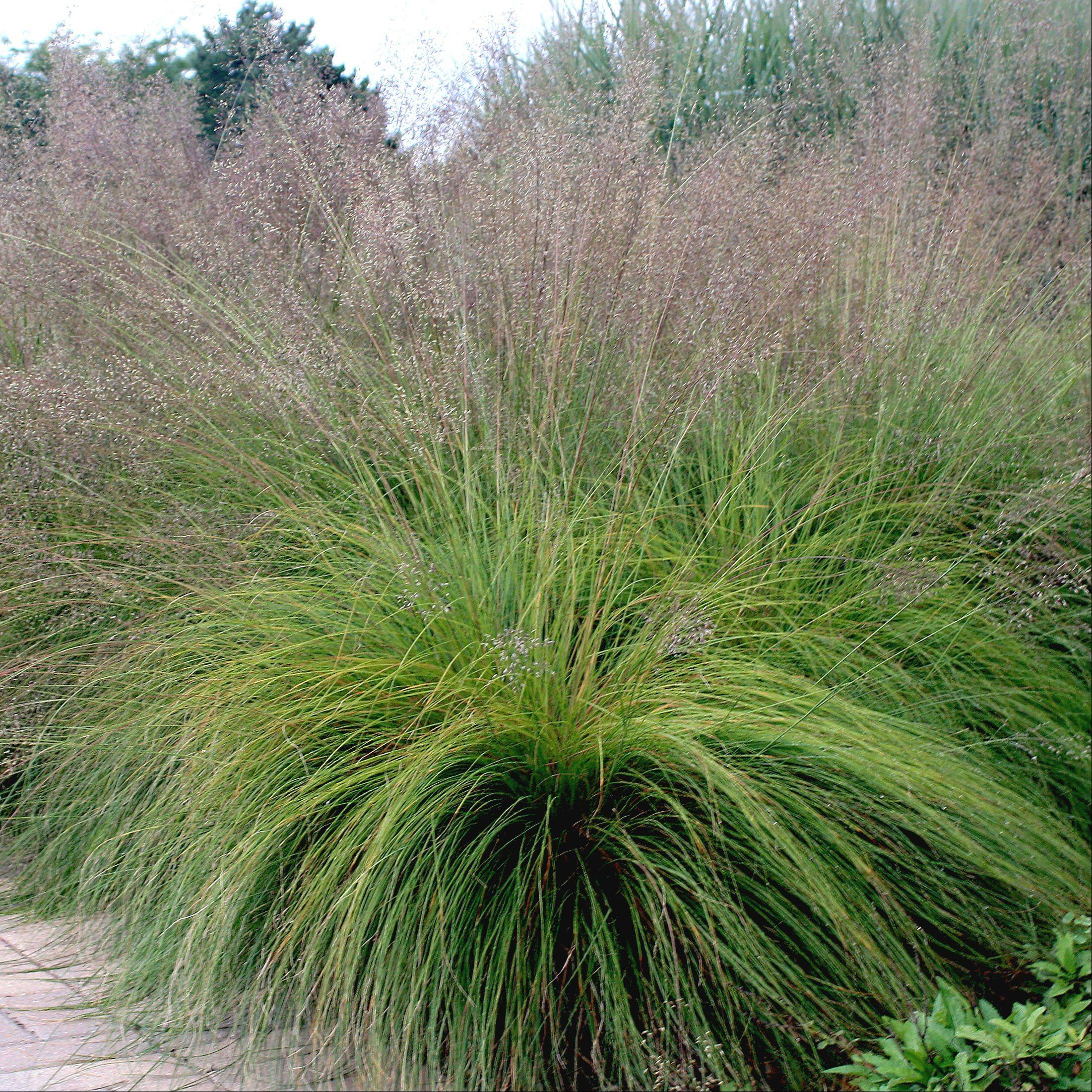 The native prairie plant Sporobolus heterolepis is commonly known as Prairie Dropseed, which grows to 3 to 4 feet in height.
