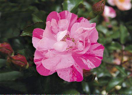 New for 2013 from Anthony Tesselaar Plants is Pink Splash. Bright, bi-colored hot pink and pale pink petals with blooms 2 to 2� inches in diameter. Height is 23 to 31 inches, width is 40 inches when mature.