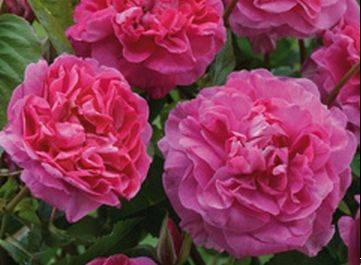 England's Rose from David Austin Roses has deep pink, medium-sized, double-cluster blooms.