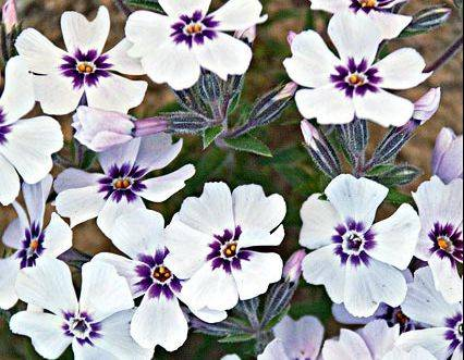 White Flower Farms adds North Hills White creeping phlox to its 2013 line from its supplier Walters Gardens. Blooming in April and May, the phlox attracts butterflies and develops a dense mat of needlelike foliage, topped in the spring by the vibrant purple-and-white blooms.