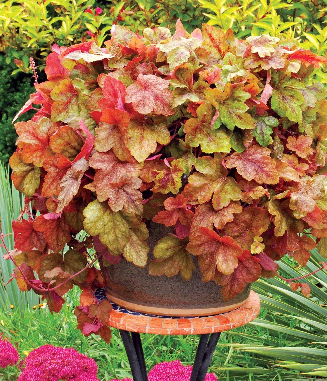 White Flower Farm adds a member of the coral bells family, Heucherella Redstone Falls, to its 2013 line.