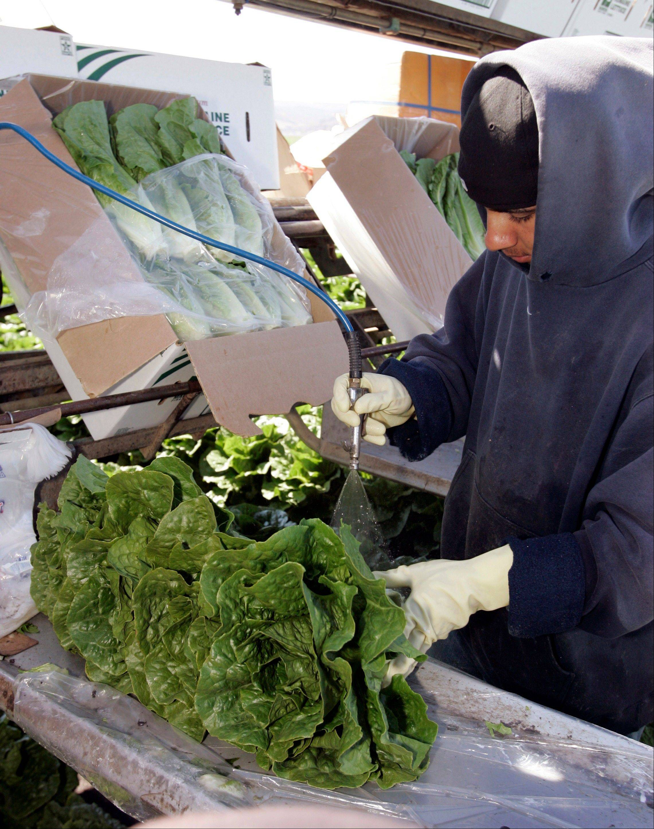 A lettuce worker washes romaine lettuce in Salinas, Calif. Leafy green vegetables were the leading source of food poisoning over an 11-year period, federal health officials say.