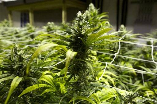 Marijuana plants ready to be harvested. Last fall, voters made Washington and Colorado the first states to pass laws legalizing the recreational use of marijuana and setting up systems of state-licensed growers, processors and retail stores where adults over 21 can walk in and buy up to an ounce of heavily taxed cannabis.