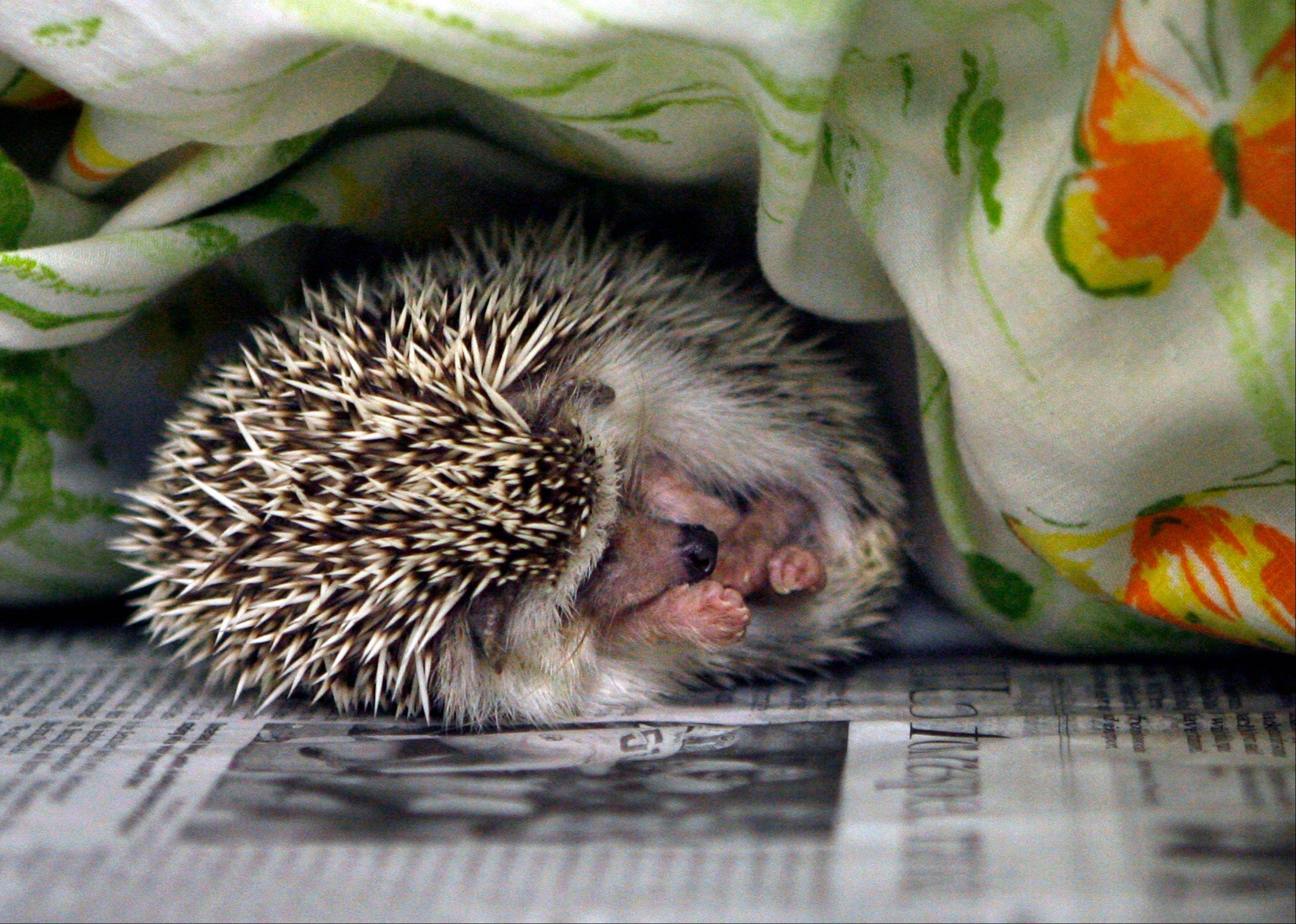 A hedgehog sleeps at the SPCA in Largo, Fla. In the last year, 20 people, including one in Illinois, were infected by a rare but dangerous form of salmonella bacteria, and one person died.