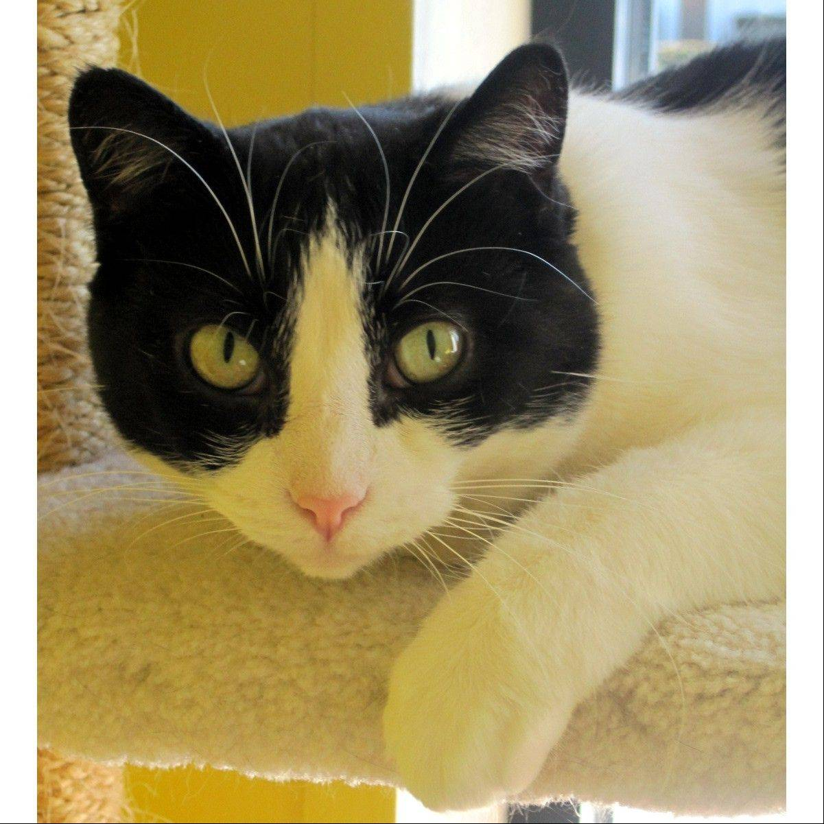Baby is a gorgeous black and white tuxedo cat with yellow-green eyes and beautiful white whiskers and eyebrows. She is shy at first, but warms up and will be very sweet once she gets to know you. Baby is best friends with Bambi. .