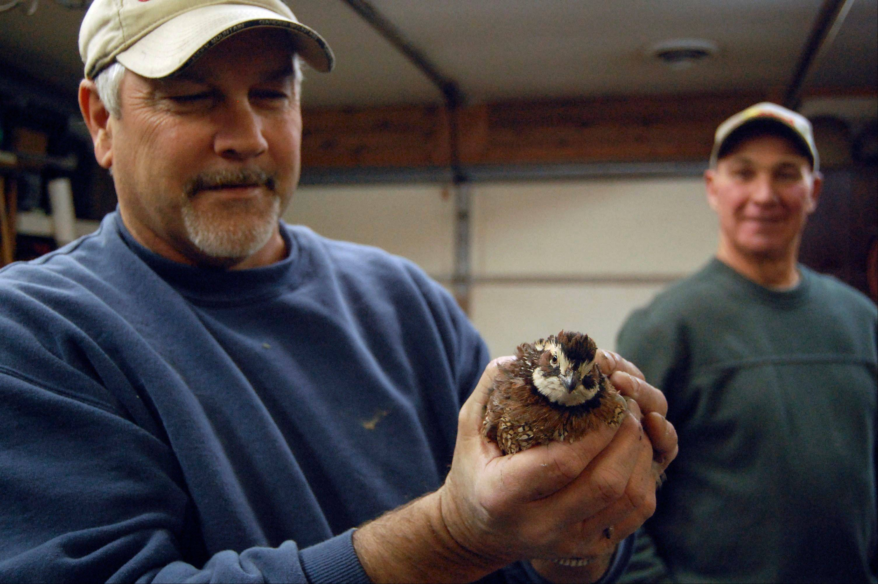 Cliff Banks, mayor of Spring Valley, holds one of the quail he and Mark Actis have begun breeding in Banksí garage.