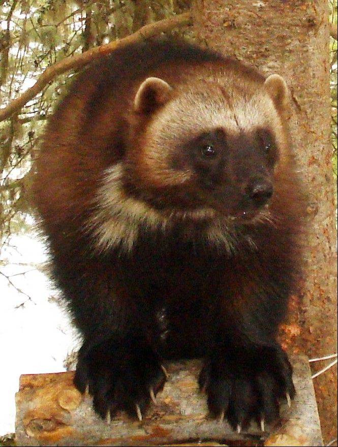 Add the tenacious wolverine to the list of species the government says is threatened by climate change.