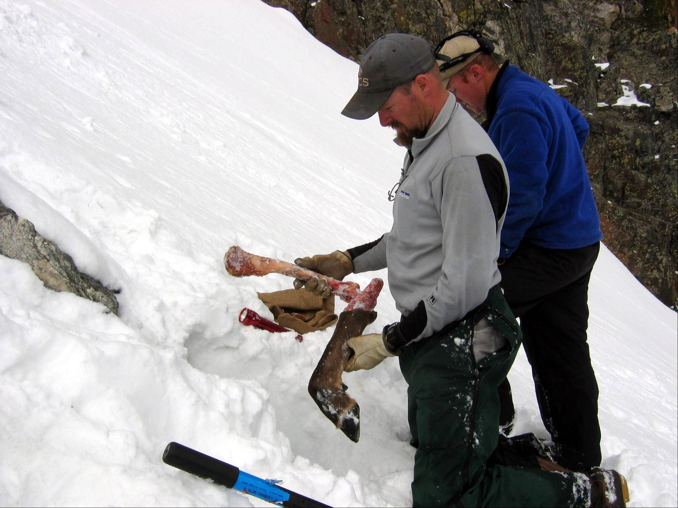 Associated PressBob Inman, with the Wildlife Conservation Society, holds part of an elk leg found outside a wolverine den built into a snowfield in the Spanish Peaks mountain range in Montana.