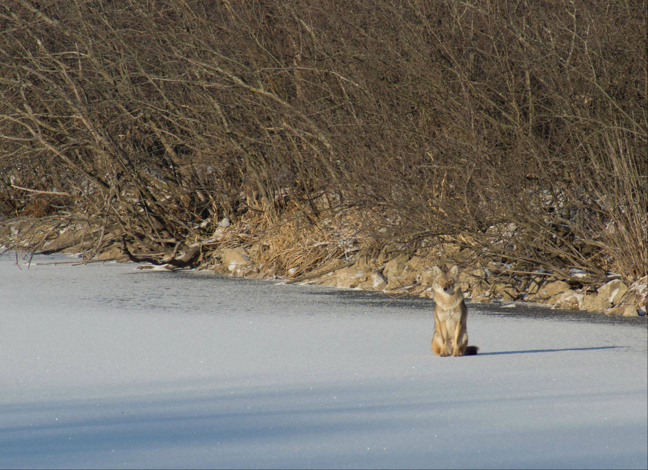A coyote on a frozen lake at Crabtree Nature Center in Barrington Hills in December.