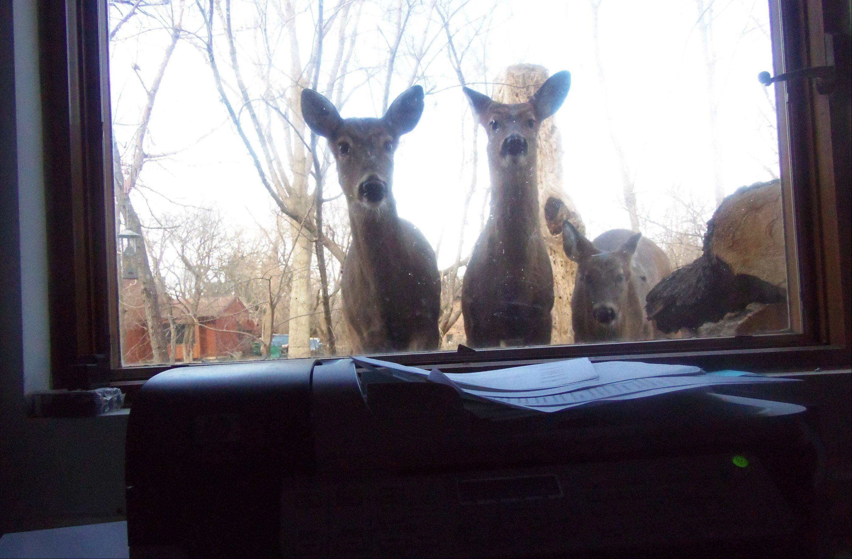 Last Sunday, four deer were in our yard. We were watching them from our family room window. I never thought that three of them would come right up to the window and look in.