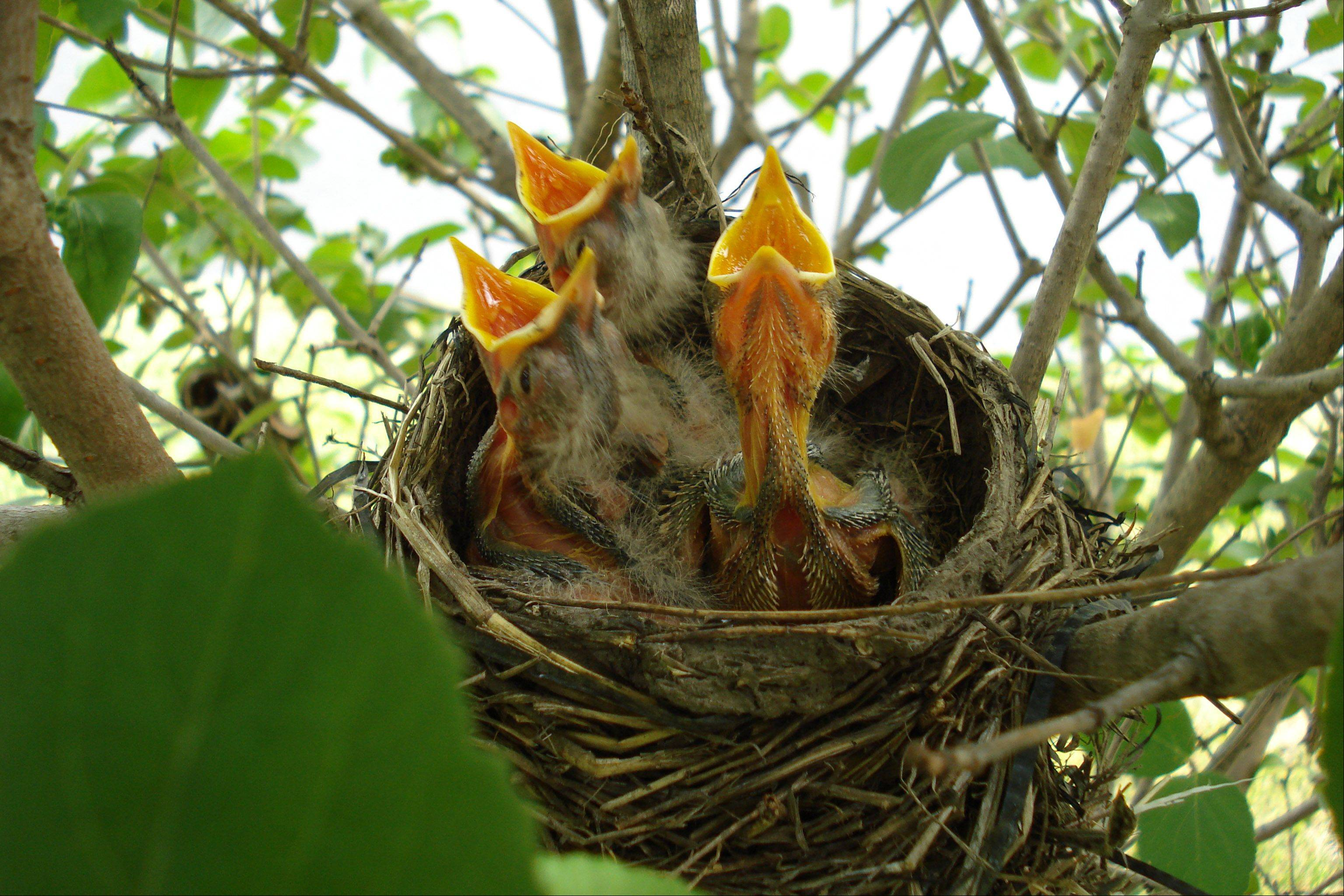 I took the photo of these beautiful baby robins that nest in our bush in front of our house every year.