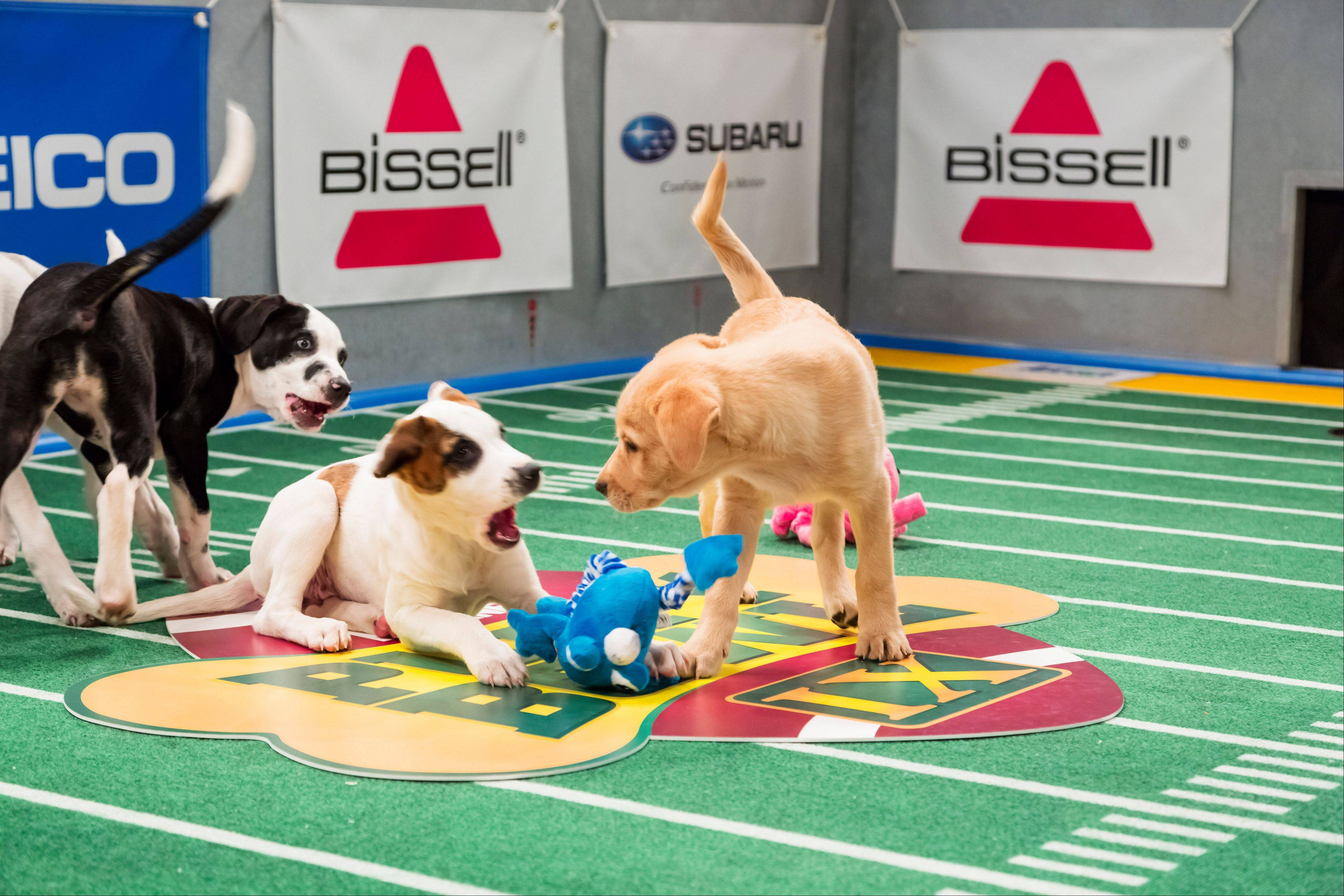 "Dogs play on the field during ""Puppy Bowl IX."" The annual two-hour TV special mimics a football game with canine players, made its debut eight years ago on The Animal Planet."