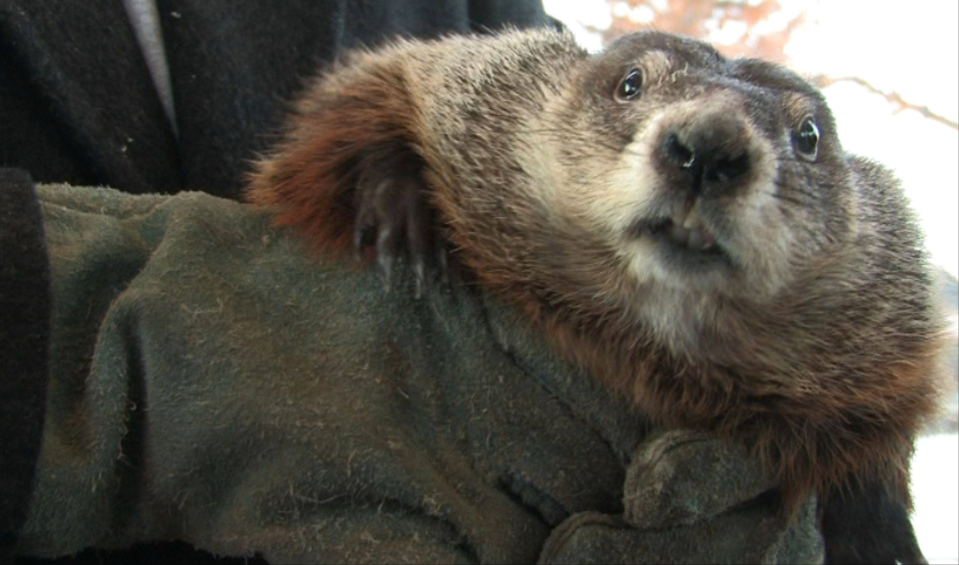 Groundhog Day, which falls every year on Feb. 2, will be celebrated this weekend in a few locations in the Chicago area, with the biggest event taking place in Woodstock. Here are the highlights