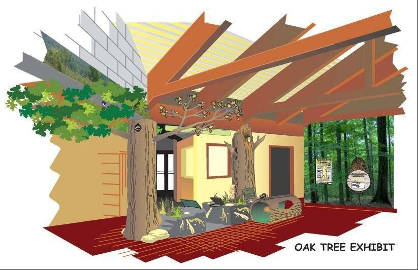 An artist's rendering of the new oak three exhibit being installed at the Nature Museum at Spring Valley.