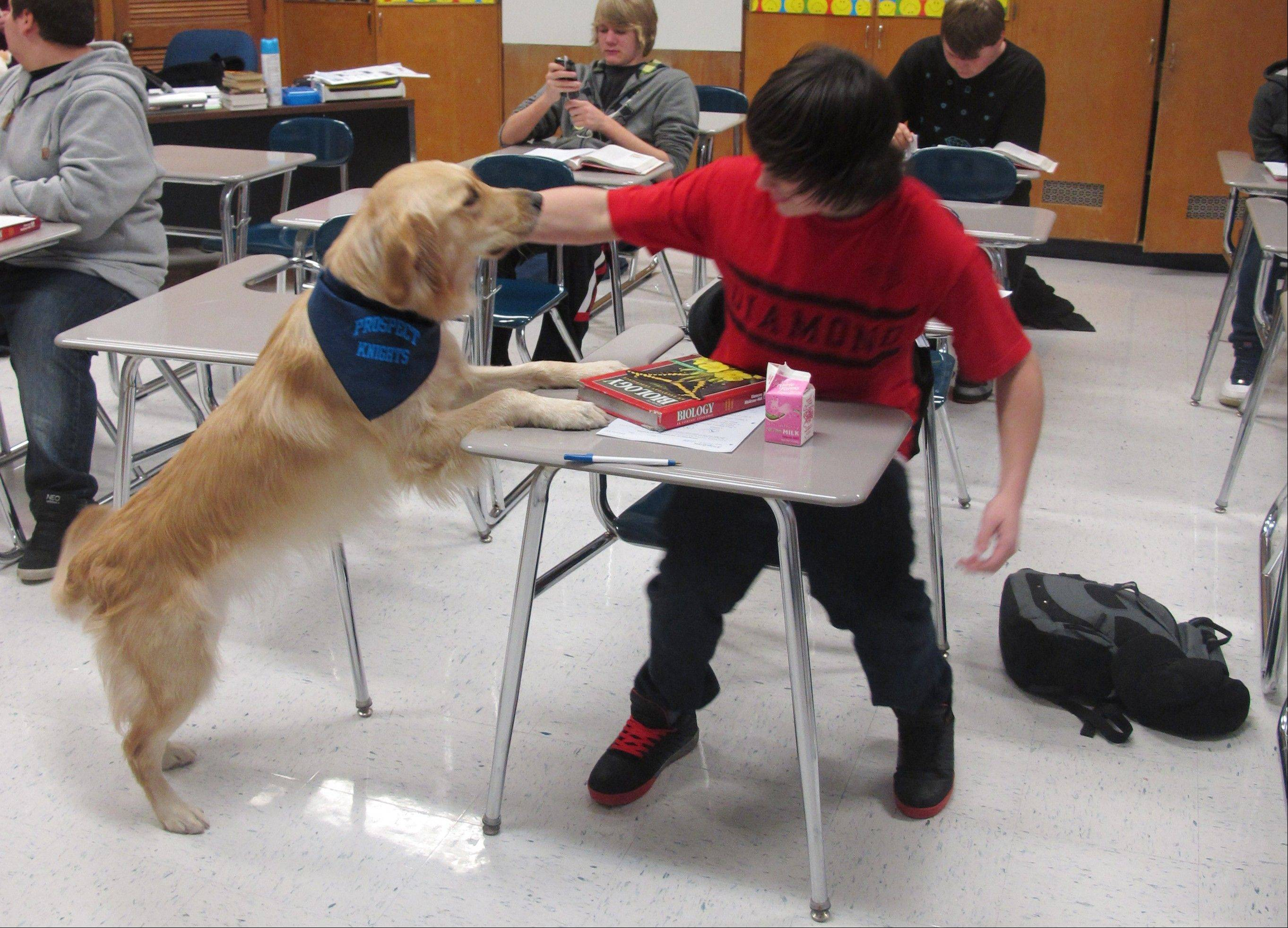 "A student pets Junie, the ""therapy dog,"" at Prospect High School. Stress, anxiety and panic attacks are on the rise so some schools are trying unconventional methods, such as dogs, to help students cope."