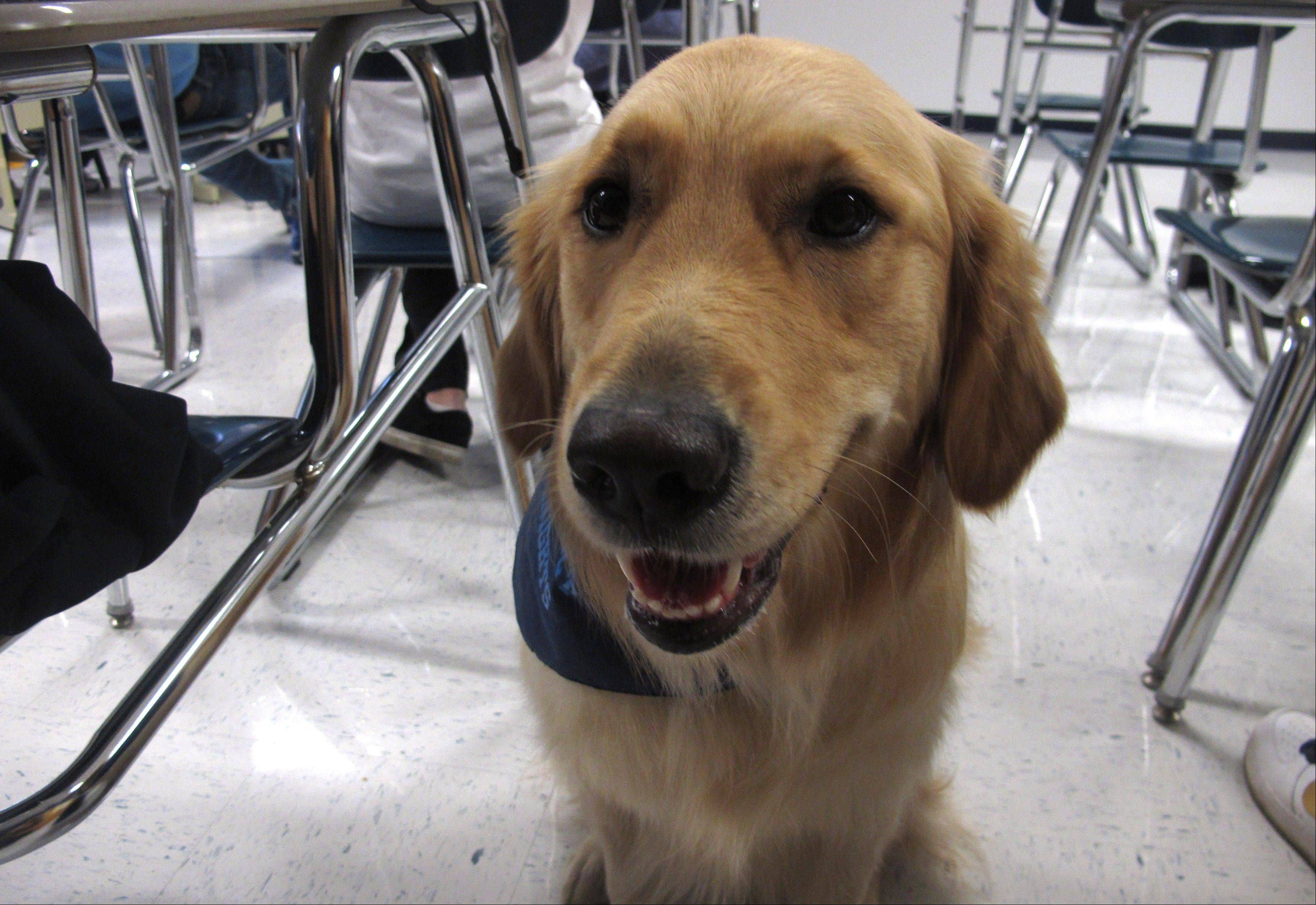 "Junie, a ""therapy dog"" at Prospect High School, sits in a classroom."
