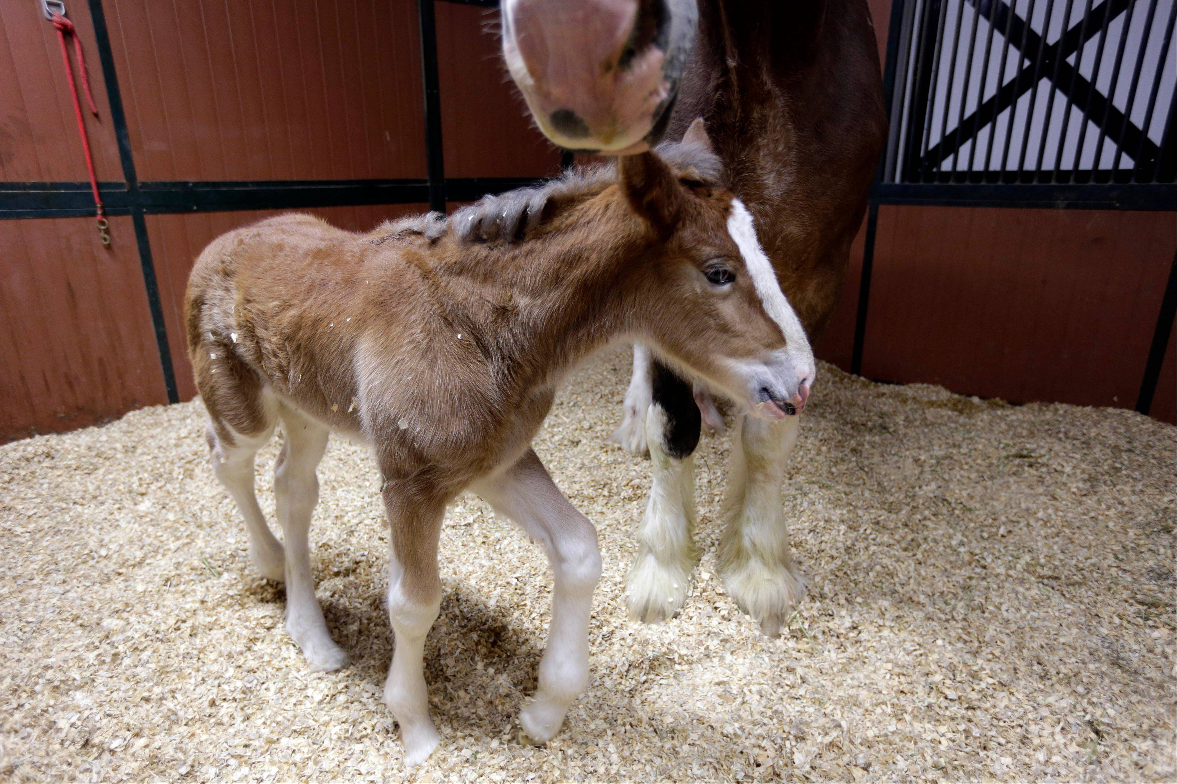The Clydesdale foal, born Jan, 16, and featured in a Budweiser commercial during Super Bowl XLVII has been named Hope.