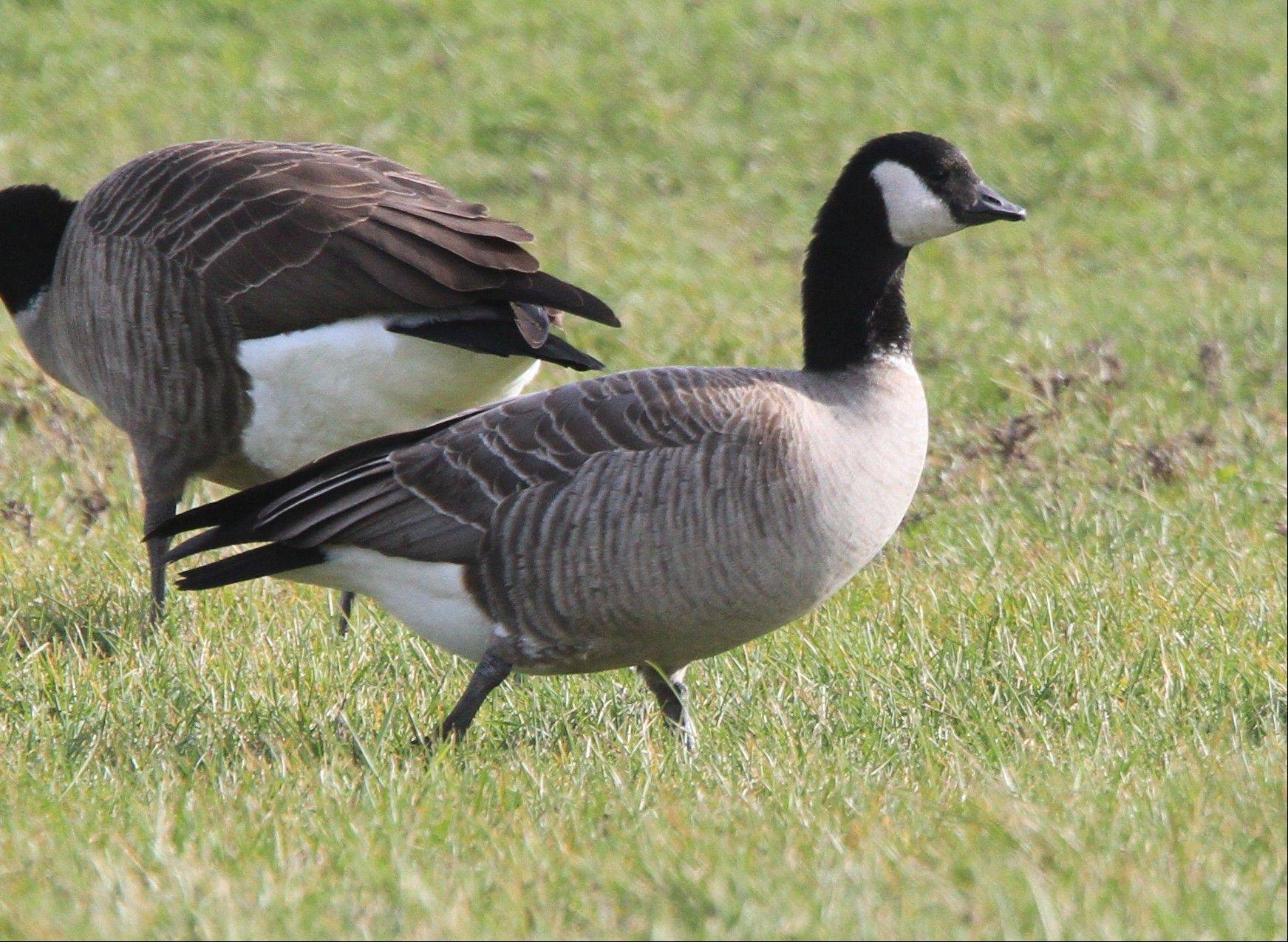 Cackling geese often go undetected when mingling with hundreds of Canada geese. They are a separate species and much smaller than Canadas.