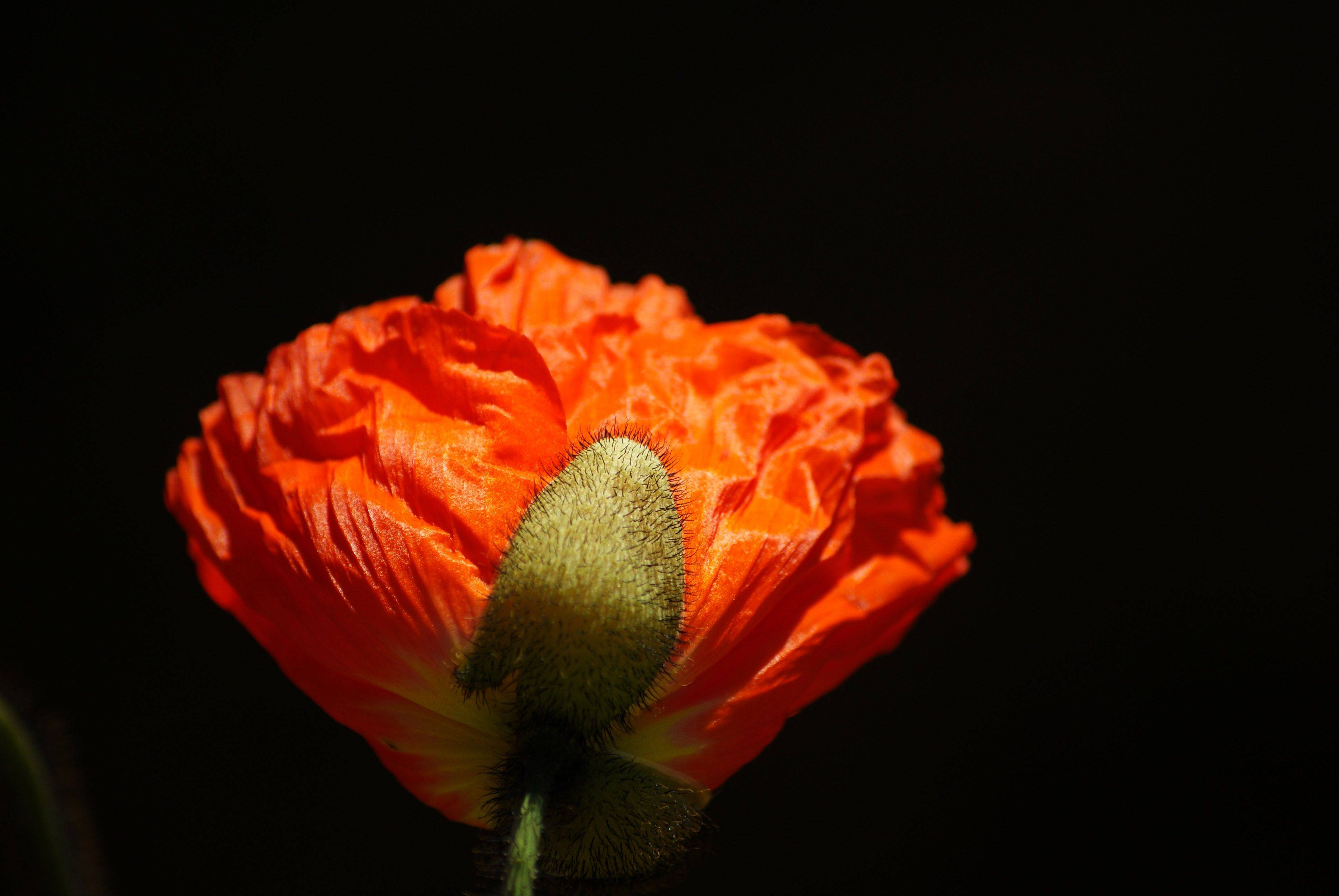 A bright, orange poppy blooms into a beautiful flower at the Chicago Botanic Garden in Glencoe.