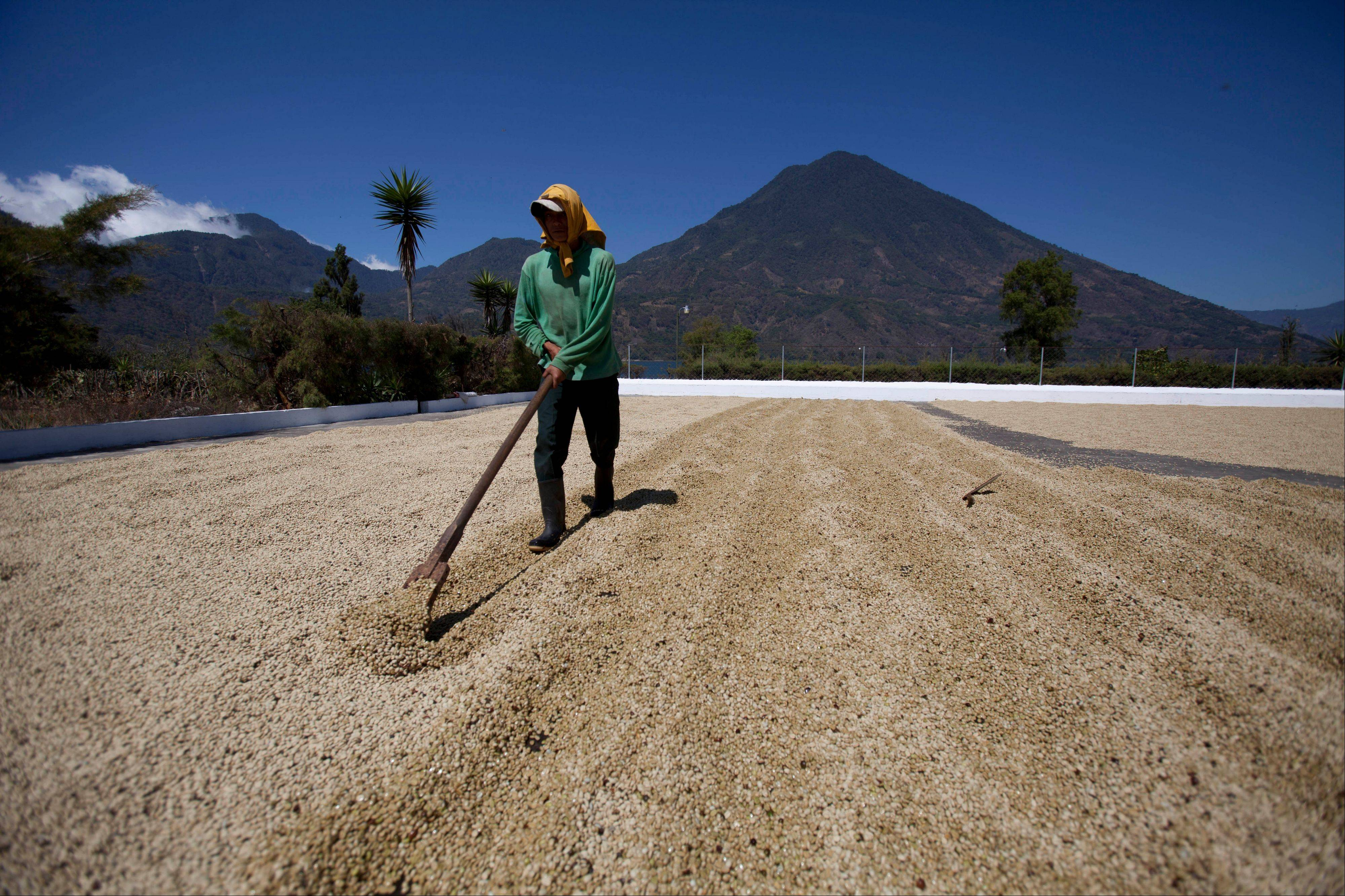 A worker dries coffee beans Friday at a coffee plantation in Santiago Atitlan, Guatemala.