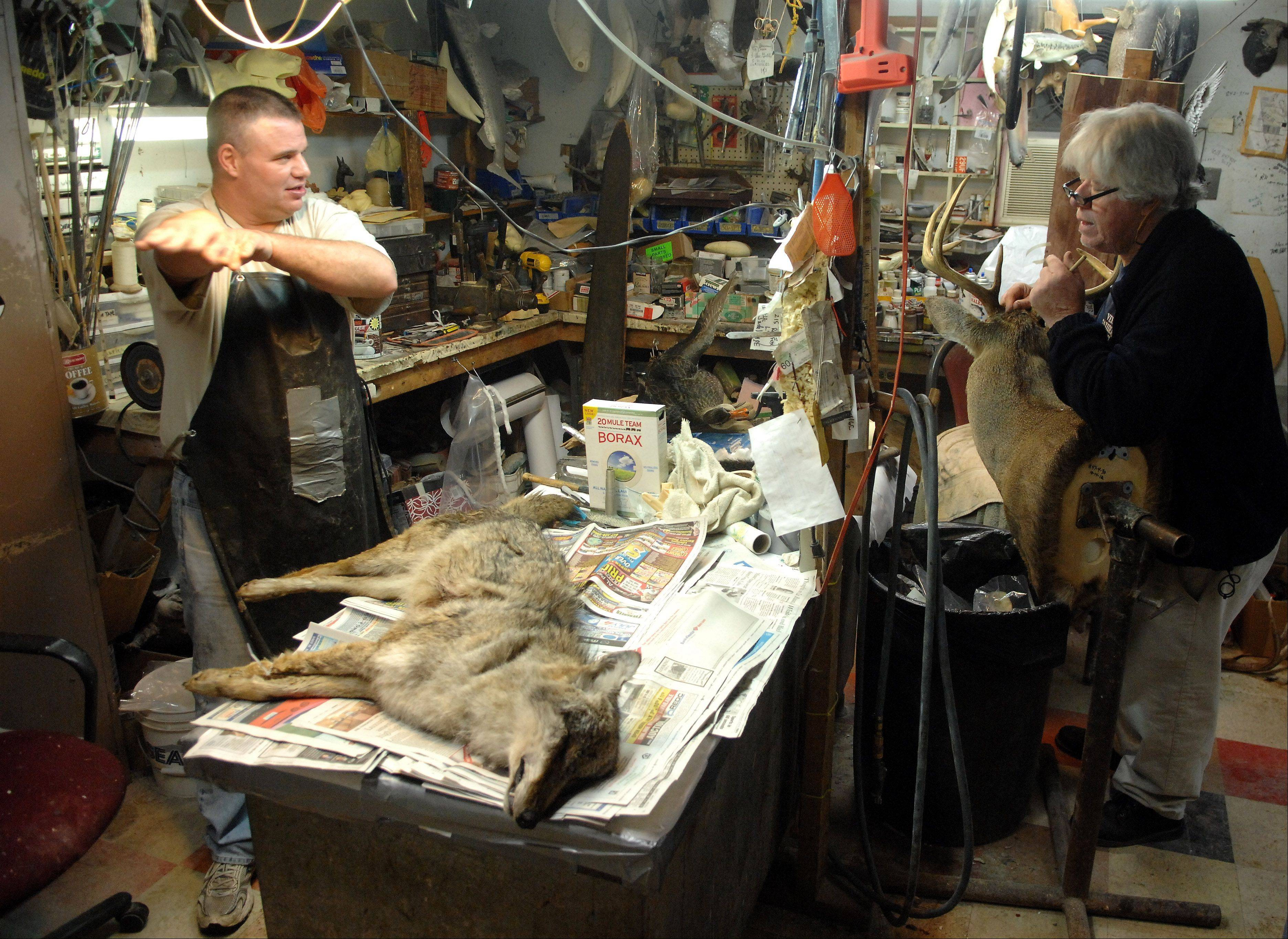 Vern Brancamp, right, helps his son-in-law Jerome Mueller before Mueller begins the process of skinning a coyote that a customer brought in that morning.