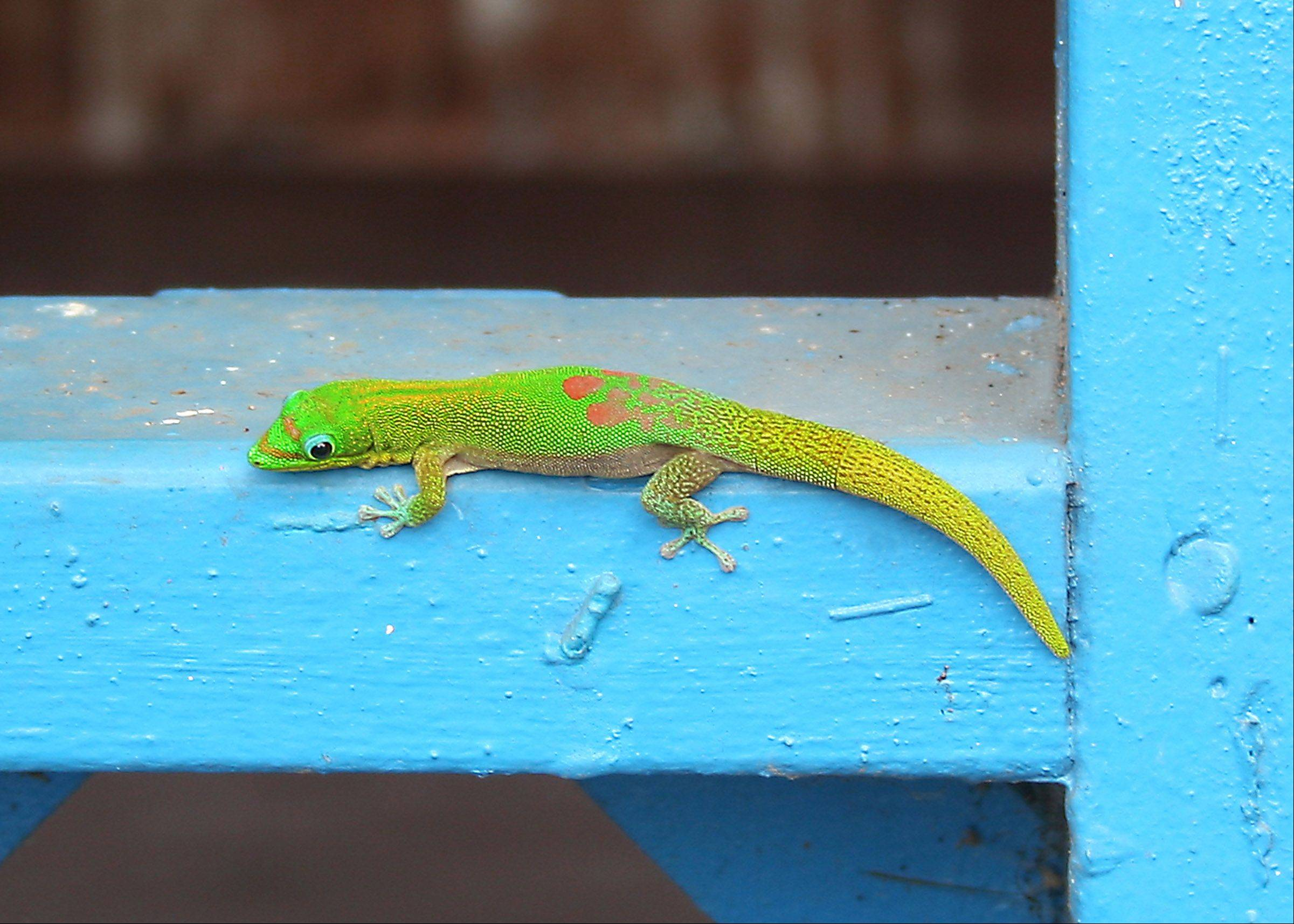 A green gecko rests on a blue painted rail in Kona, Hawaii last year.