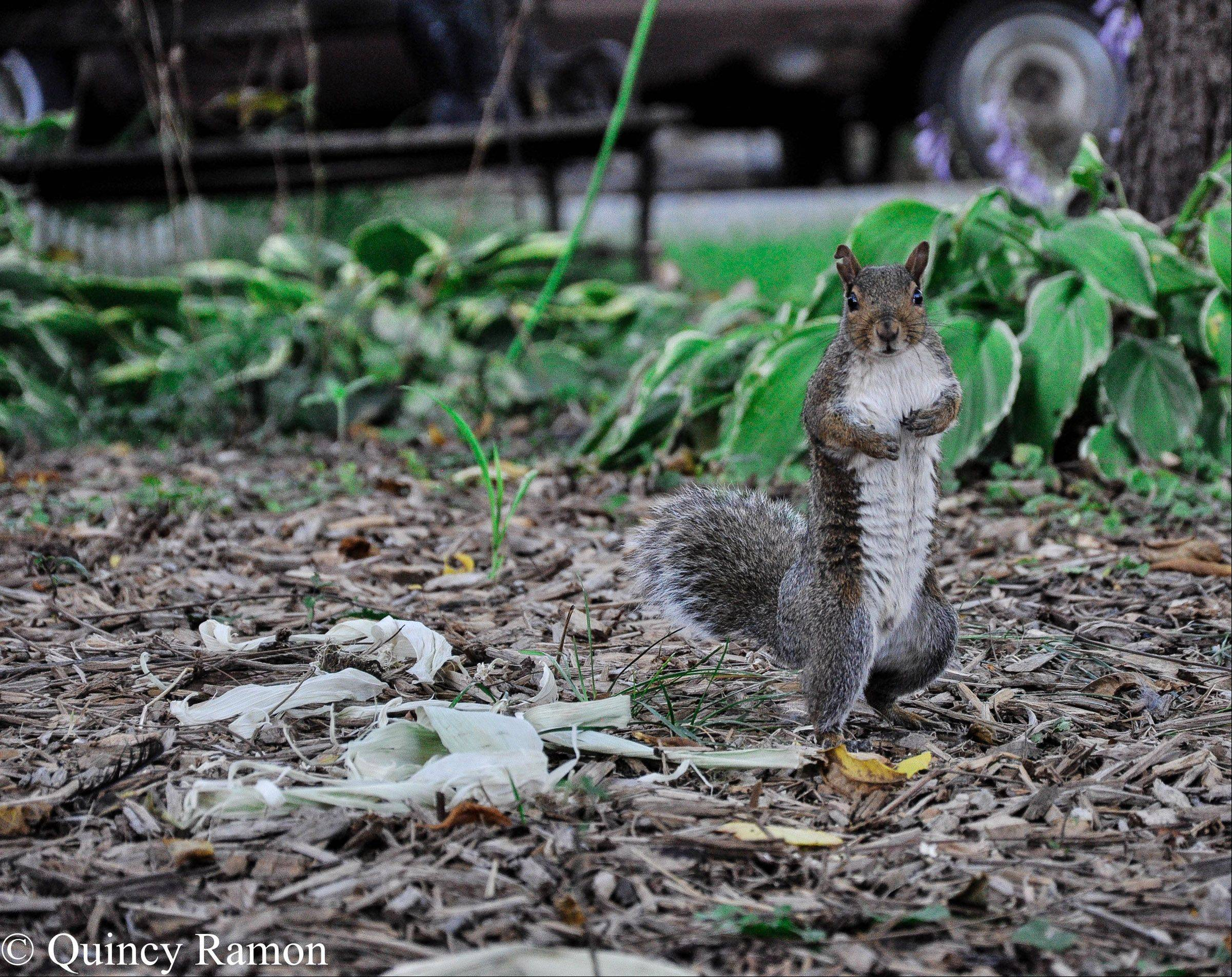 A squirrel sits and eats some peanuts on a Mount Prospect front yard in June.