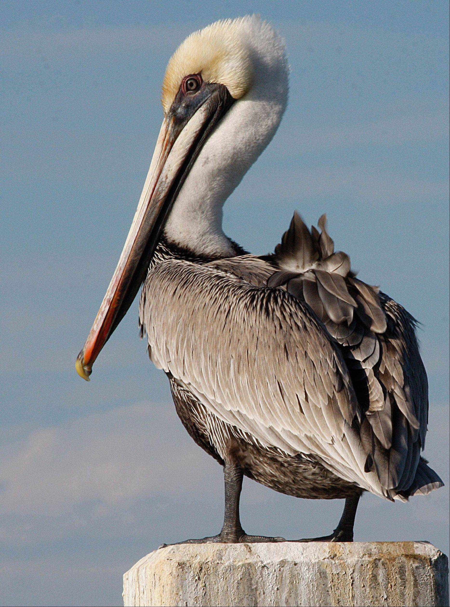 A pelican on a pier post in Marathon, Florida on January 23. The pier faces the Gulf and is relatively shallow so it is good eating for the birds.